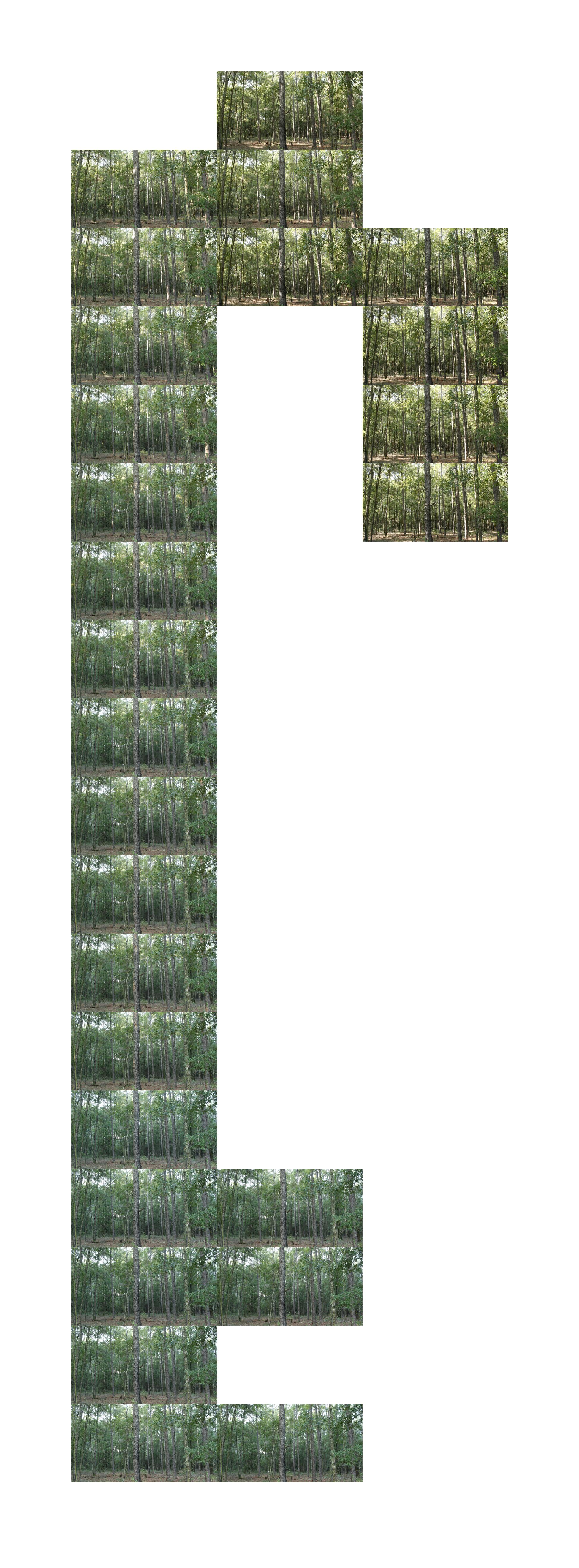 5_Pine Flat Wood Forest in July.jpg