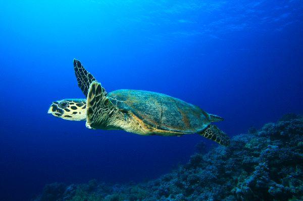 Hawksbill_Sea_Turtle_Swims_Over_Coral_Reef_600.jpg