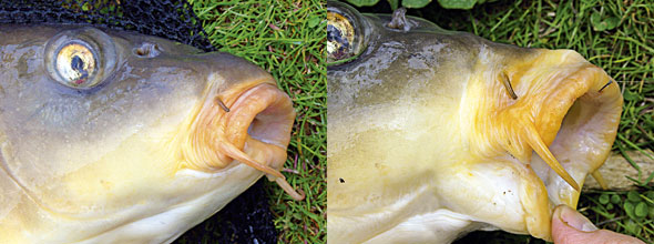 Carp have large mouth openings that telescope to boost suction