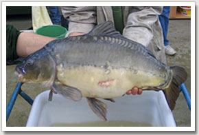 1. Broodstock carp are selected on the basis of ripeness and health. Good female broodstock fish have a large egg mass and so appear fat. Once spawned, the fish recover their energy and rebuild their gonads. A female carp could potentially be spawned three times a year if kept warm and well fed.