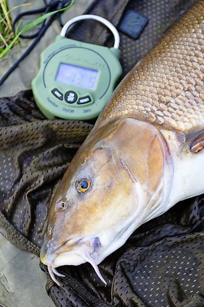 6 Barbel - weighing, care and returning summer fish.jpg