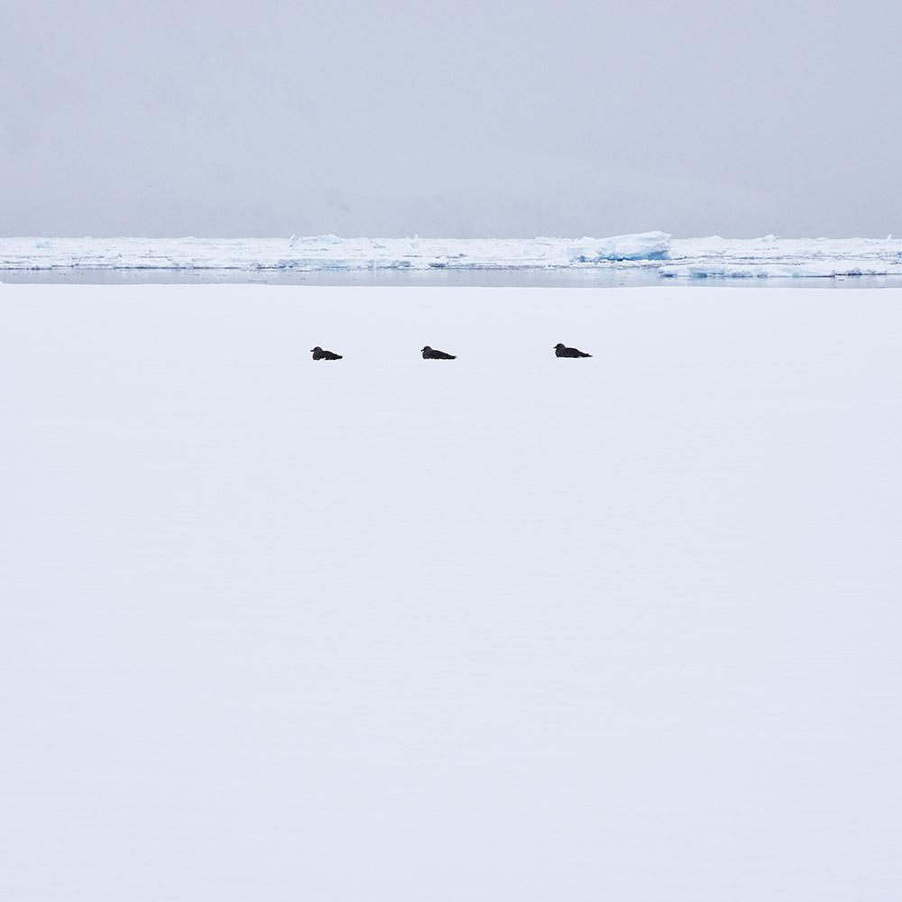 Three Birds Antarctica L.ANT24(0879)40.jpg