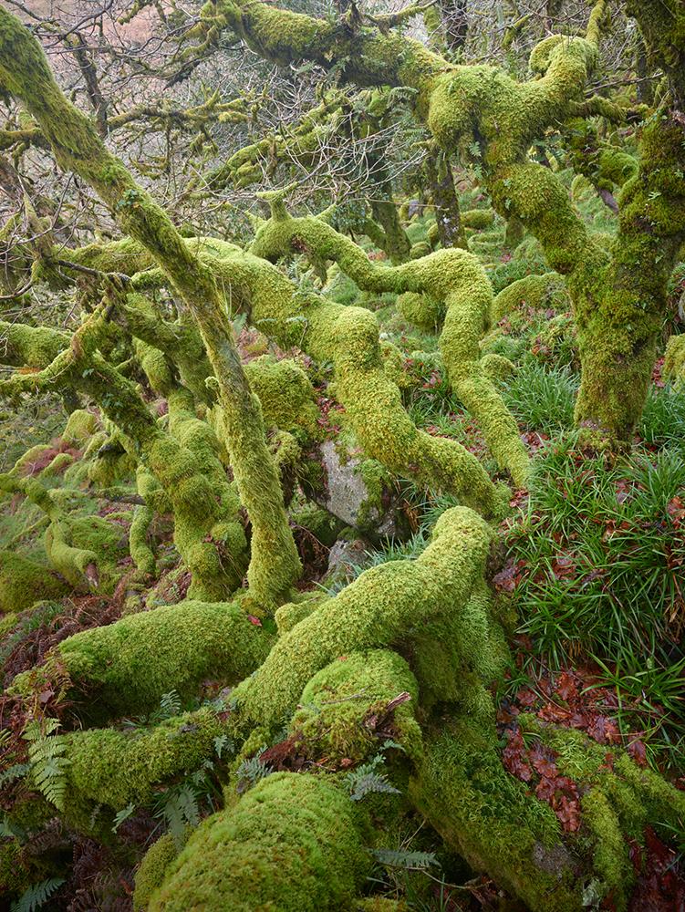 Wistman's Wood, Dartmoor.jpg