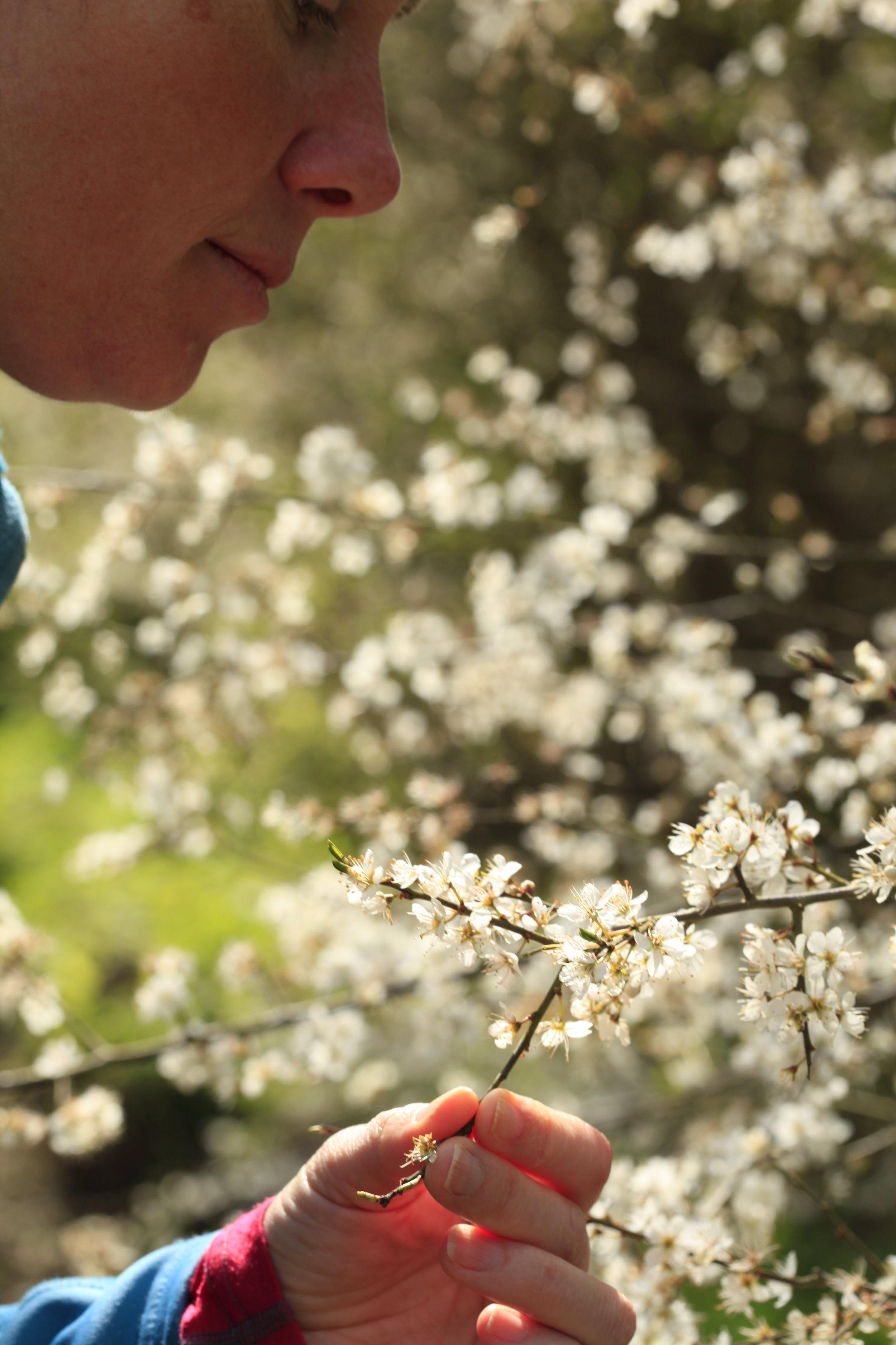 001Blackthorn Blossom Bedford Purlieus Northamptonshire Spring .JPG