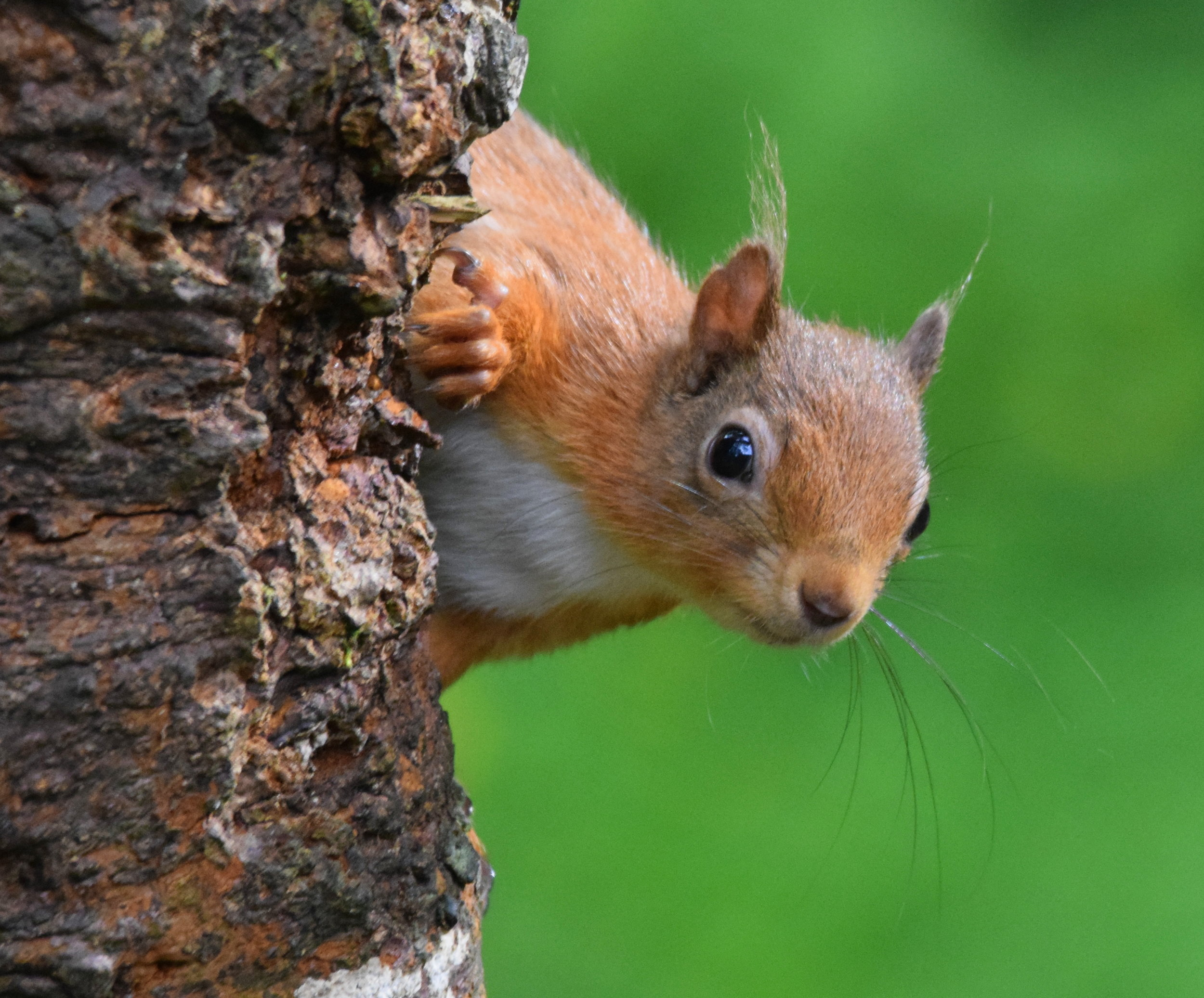 Native red squirrel.