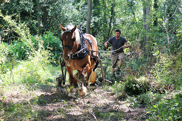New Forest - Working woodlands the traditional way - using Comtois horses to extract timber from a woodland