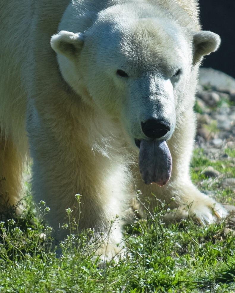 The Polar Bear did not feel like smiling for the camera