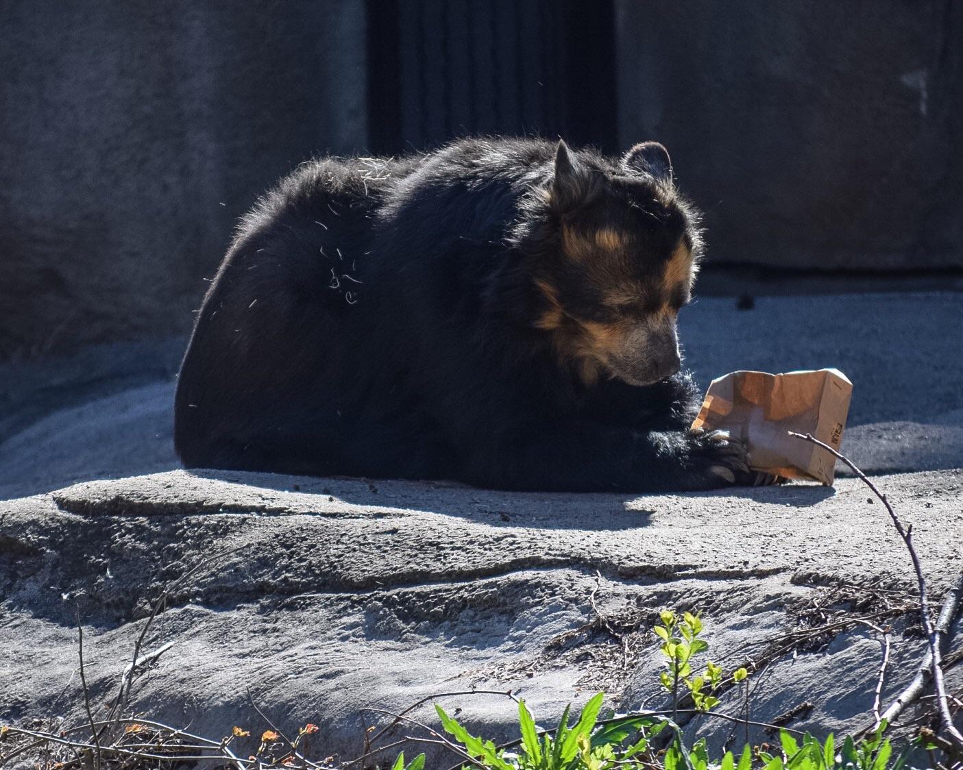 The Sloth Bear enjoys a brown-bag lunch