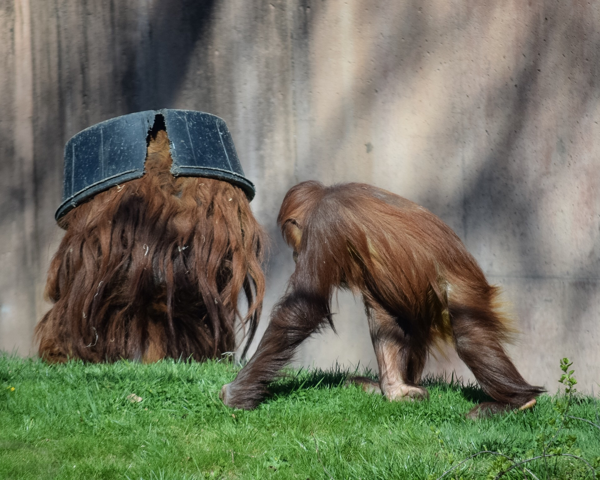 Orangutans play at the zoo. Less than 6,600 remain in the wild.