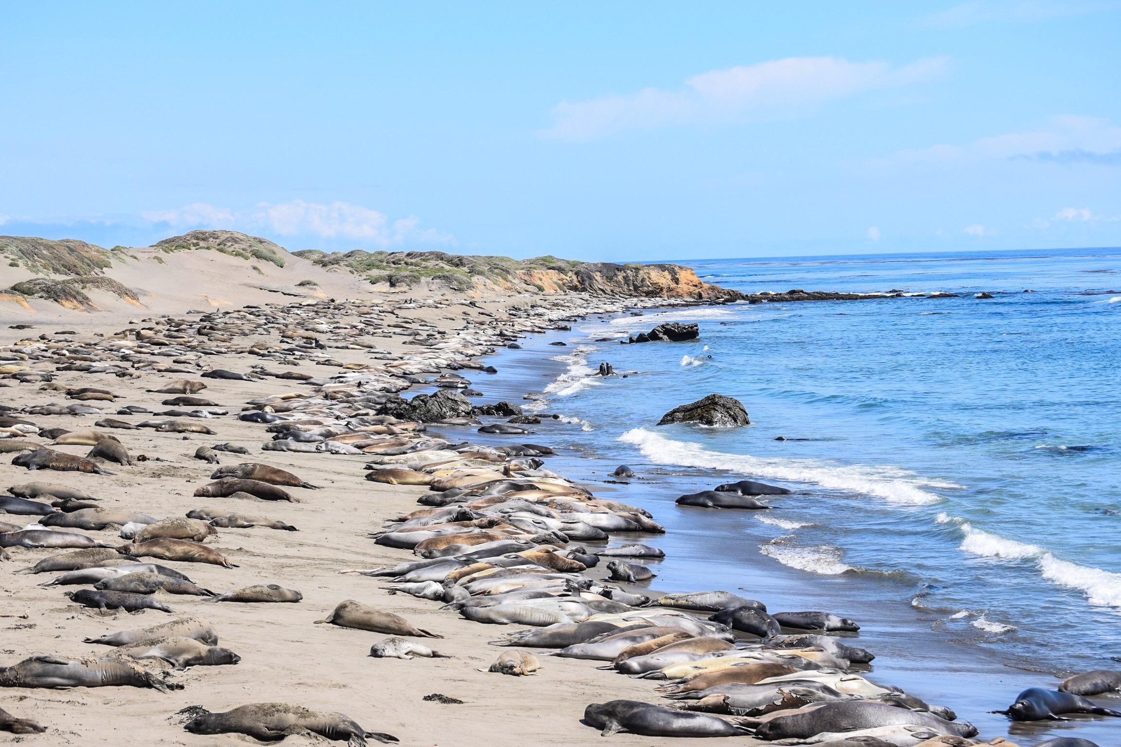 San Simeon - Elephant seal beach