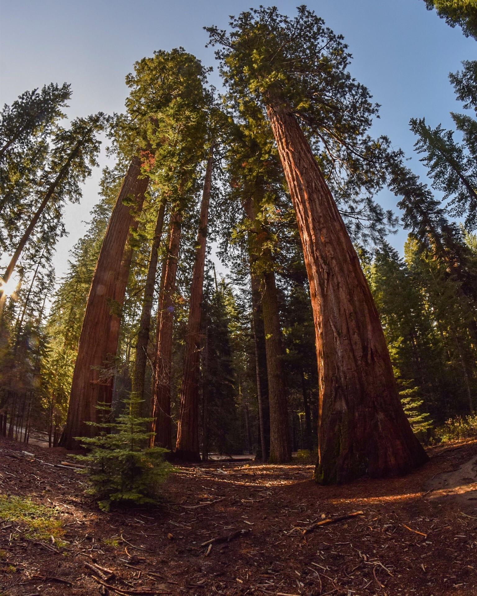 Yosemite - California Redwoods