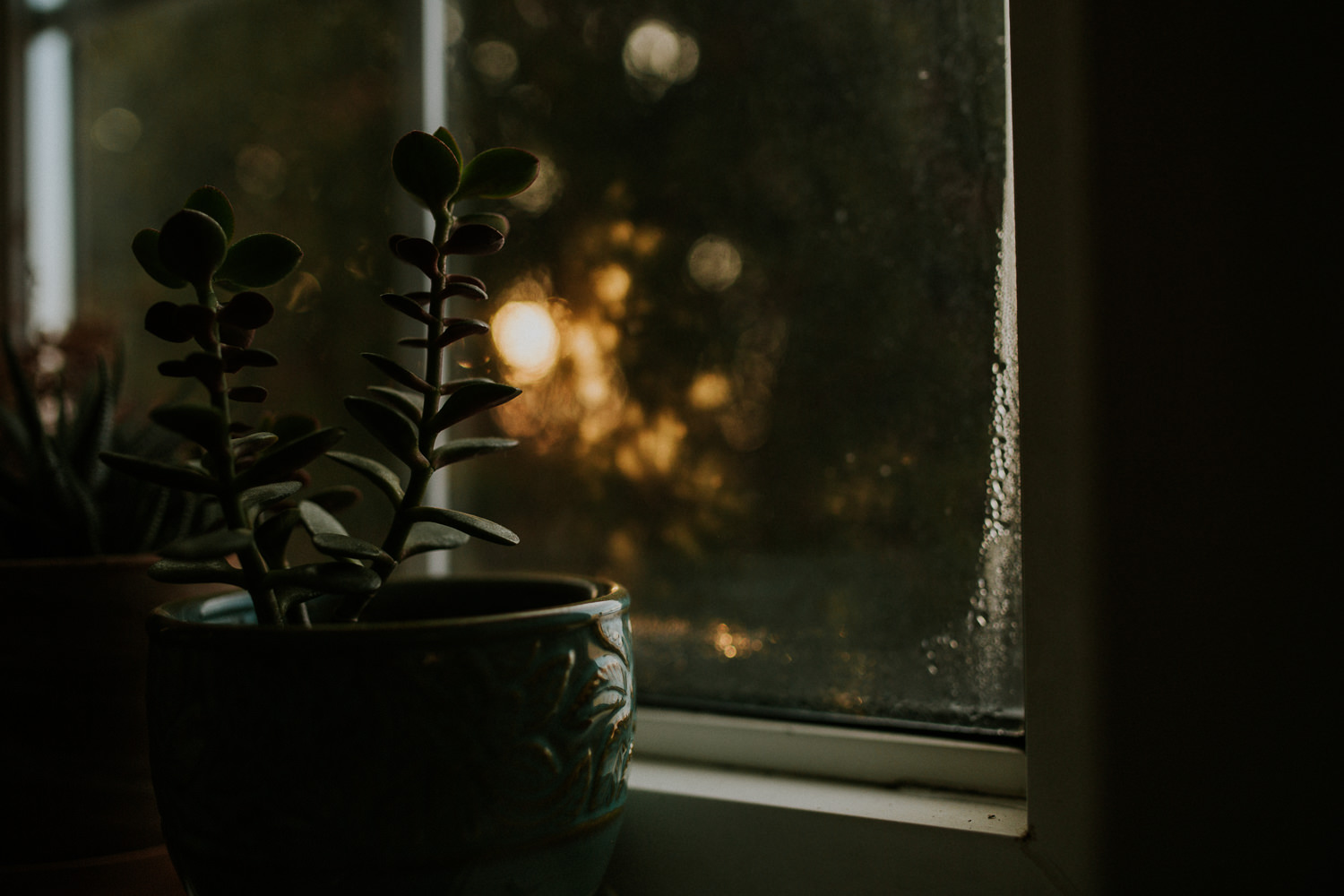 small jade plant in golden light - stouffville lifestyle photos