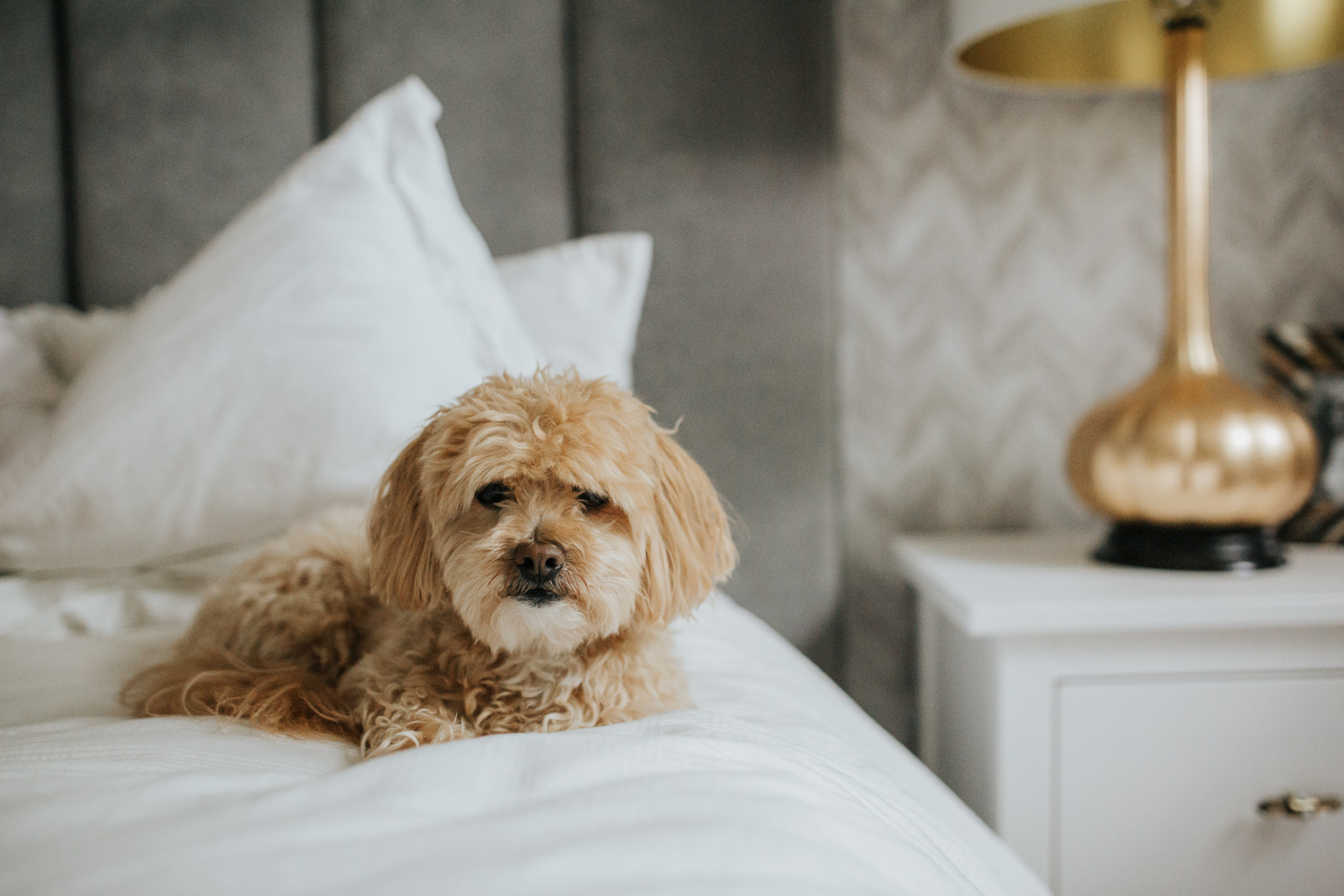 golden small poodle mix dog sitting on neutral bed looking at camera -  Newmarket Lifestyle Photos