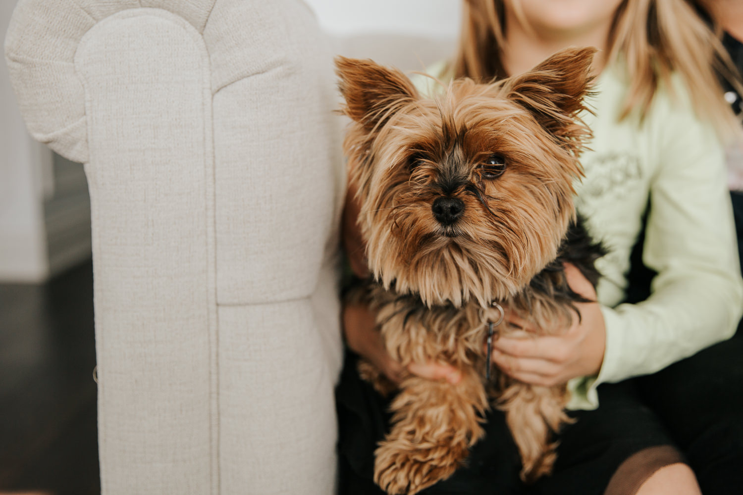 close up of brown and black female Yorkshire terrier dog sitting on 8 year old girl's lap on couch - Markham In-Home Photos