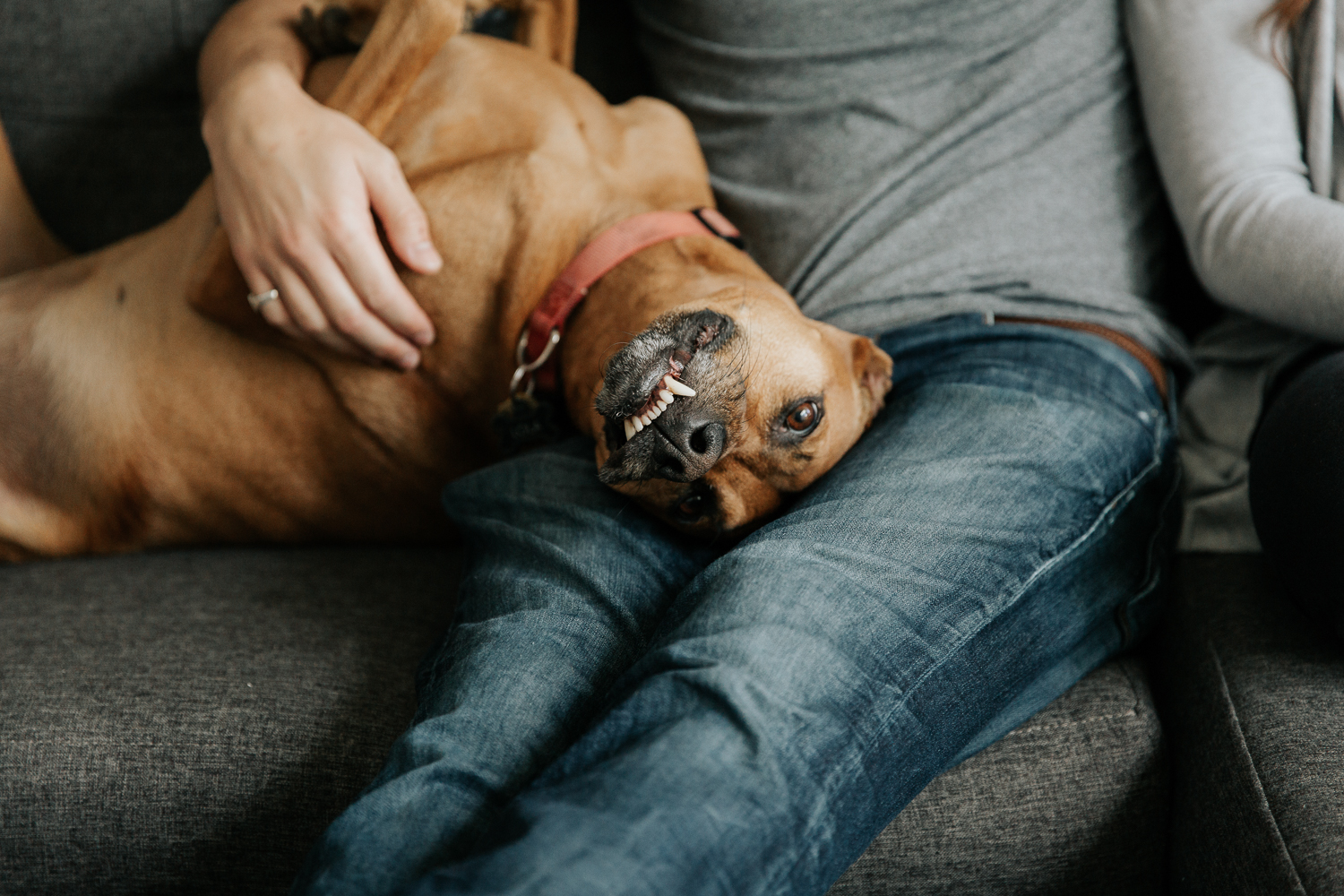 large brown boxer-mix dog lying on across man's lao on couch, looking at camera, smiling - Markham In-Home Photos