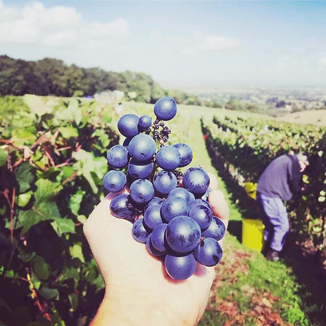 🍇 ANYONE FOR GRAPE PICKING? 🍇 In need of volunteers/helpers to pick grapes this Tuesday (8th October)** 🍇 We will offer complimentary bottles of wine for your efforts. There are stunning views and it is a great relaxing activity! 🍇 Starts at 10:00am finishes at 1:00pm! 🍇 Get picking with friends and family if your available this Tuesday! 🍇 Tag friends who would be interested! 🍇 Send an inbox message if you would like to join us!!