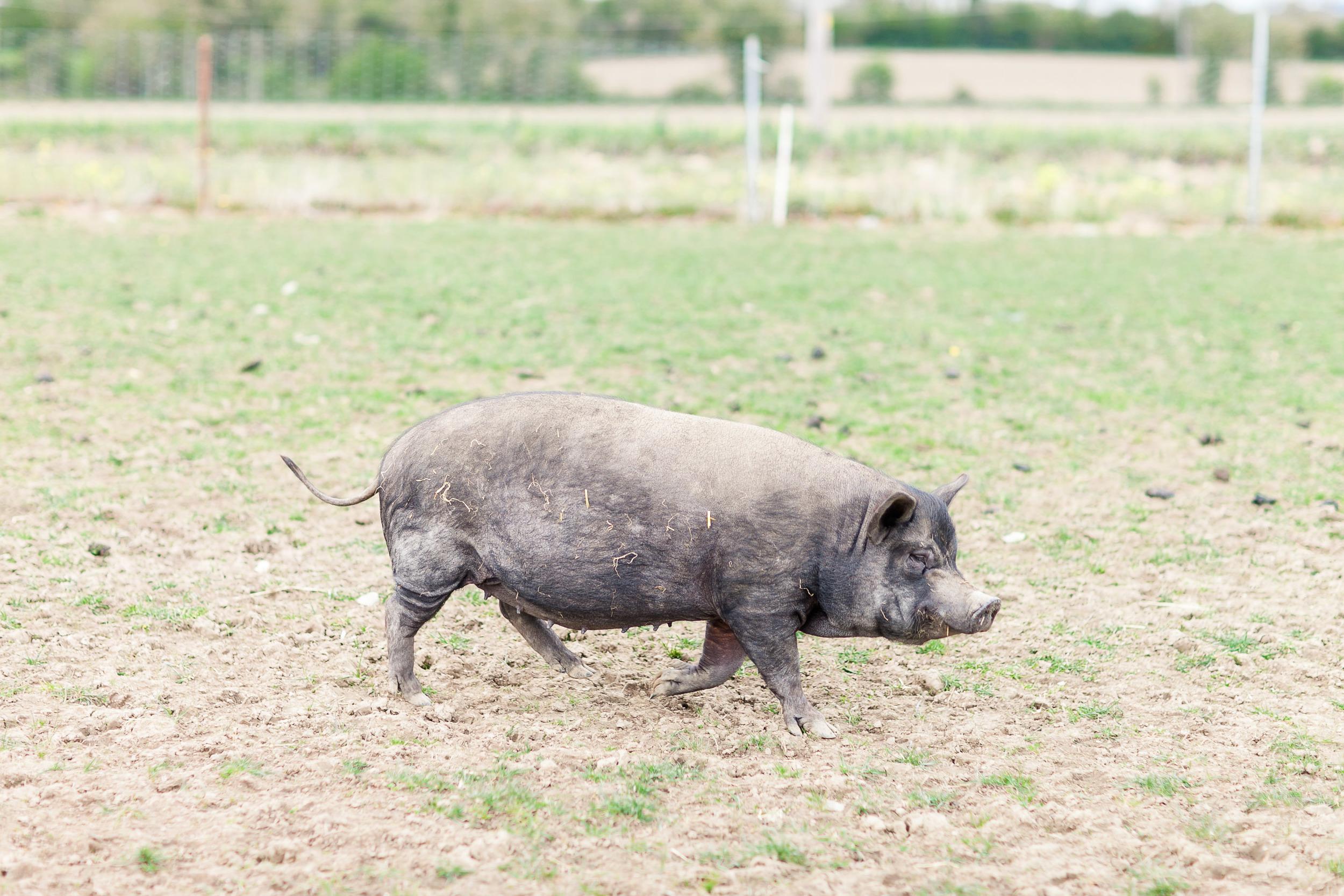 Animal Farm-0013.jpg