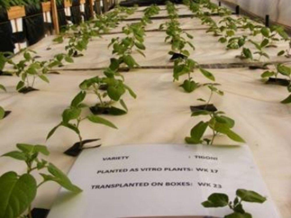 Airoponics+Potatoes+seed+1.jpg