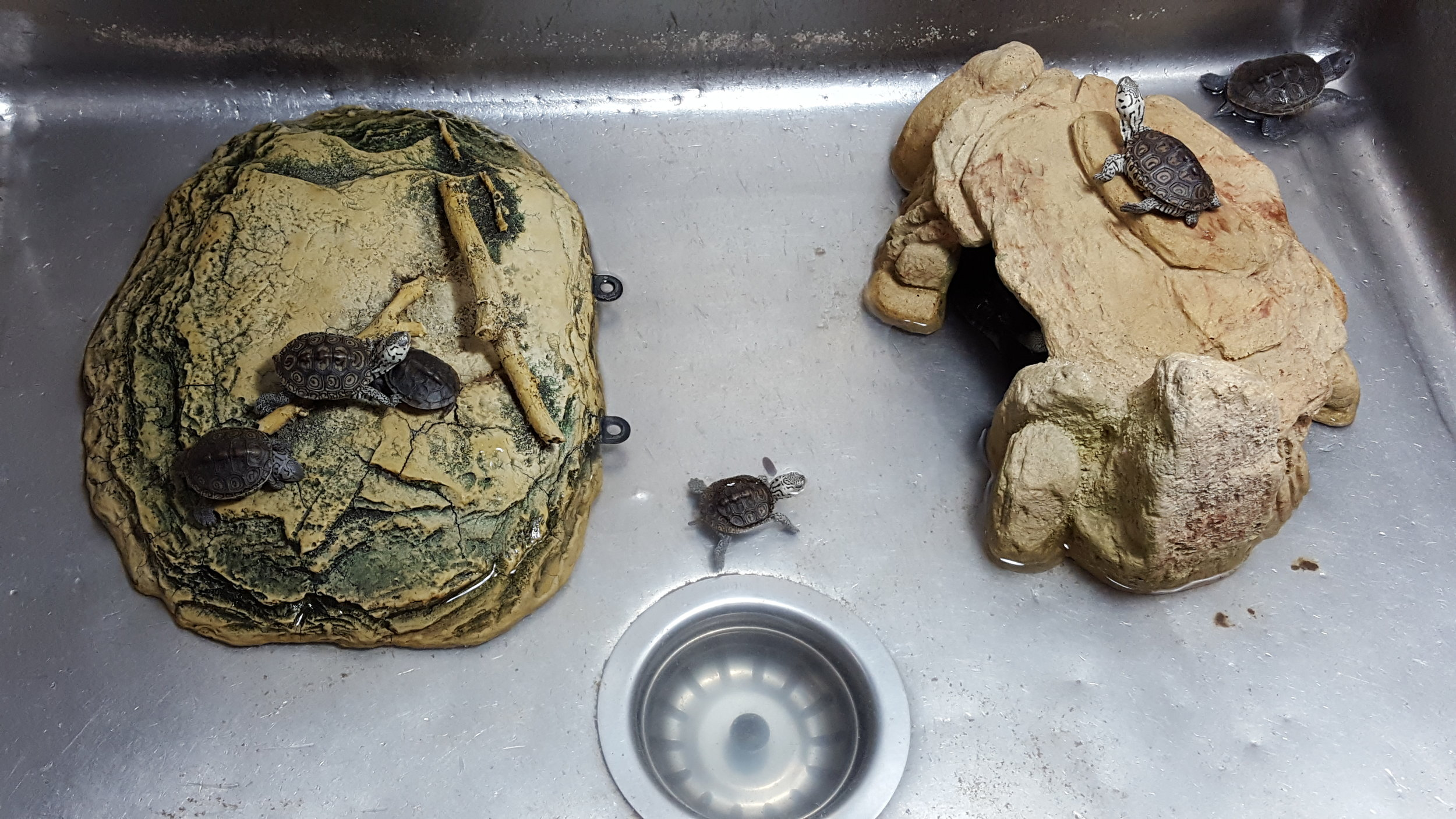 turtles in sink.jpg