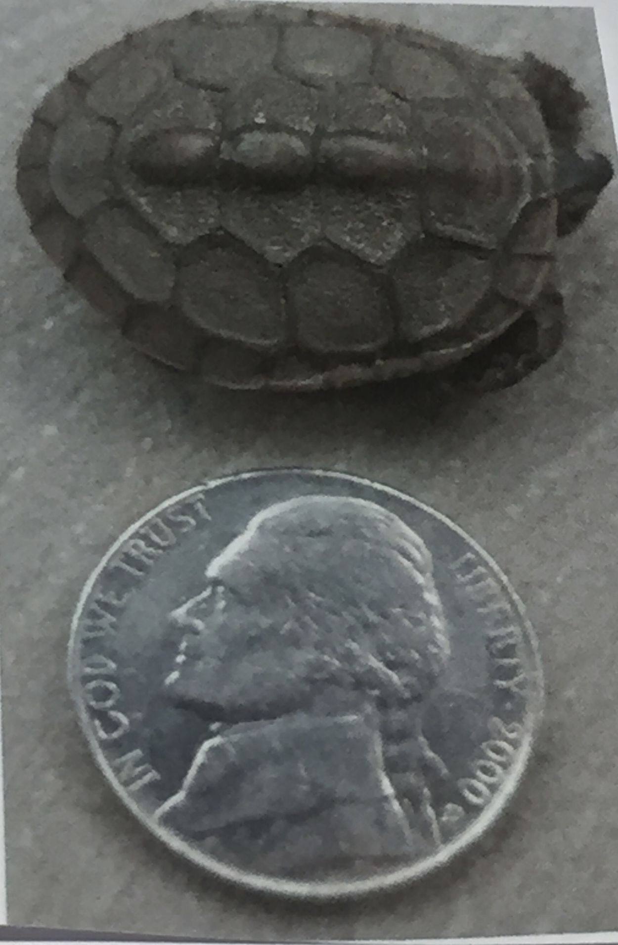 Turtle and Nickel.png