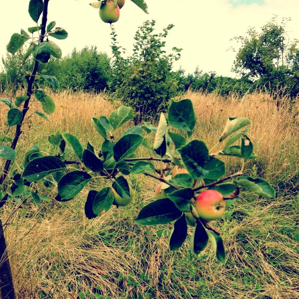 An apple tree in Bruton Park – Rhyl, North Wales August 2013