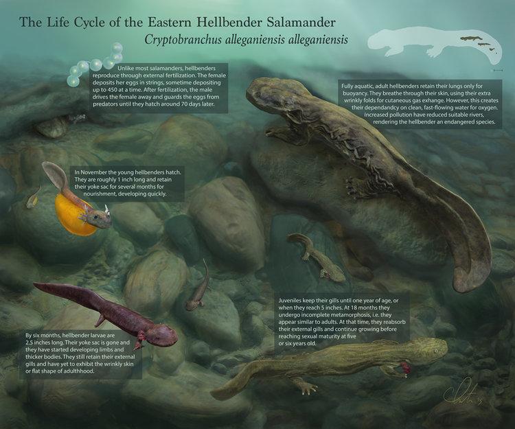 Hellbender Salamander — Cote Illustration