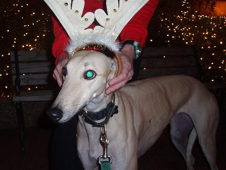 Gwen (one of Joel and Leigh's greyhounds who quickly became the unofficial Nacogdoches Bicycle Club mascot) sporting some holiday antlers