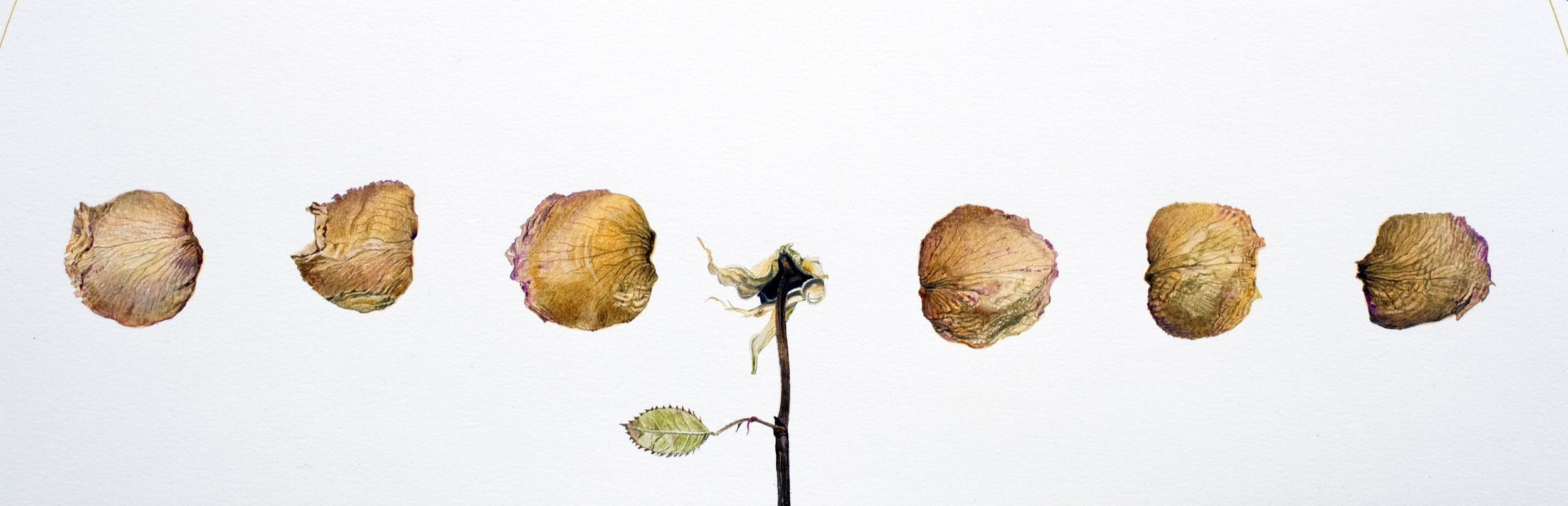 Rose, Dried and Disassembled
