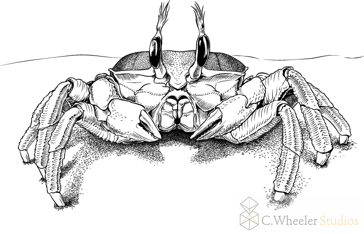 crab2-17 copy.jpg
