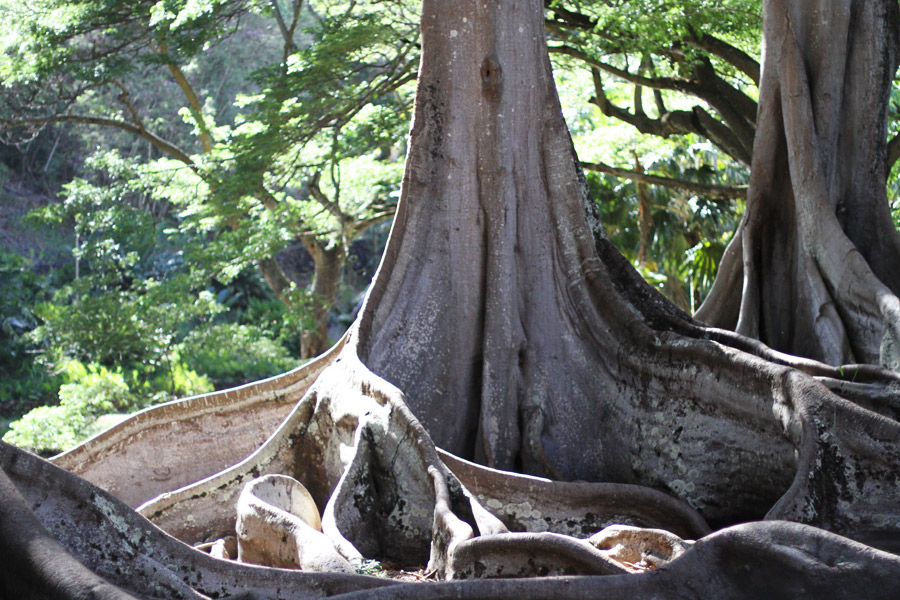 Allergen Garden Kauai, Hawaii. Fig, banyan tree.