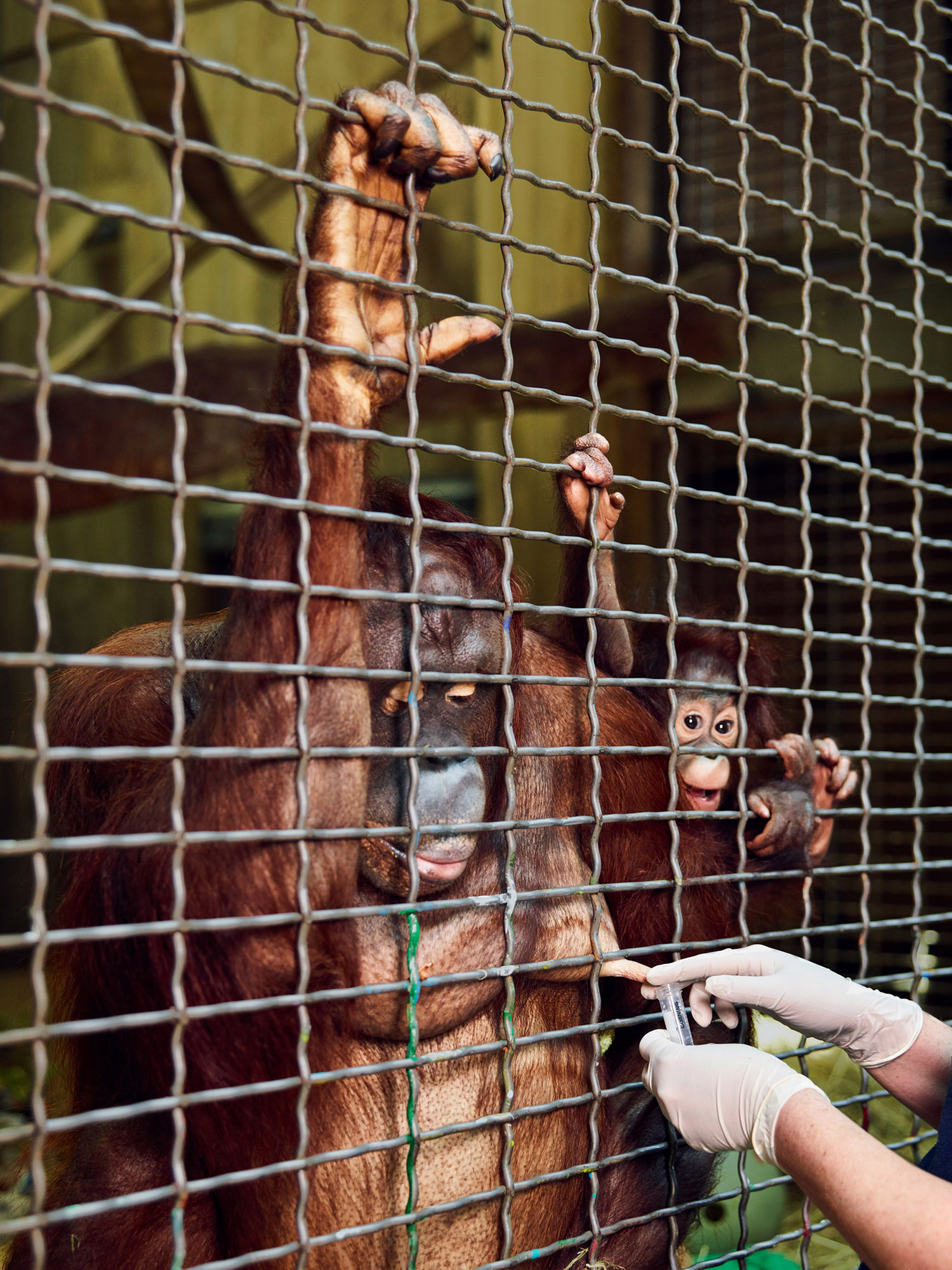 Batang, Critically Endangered Bornean Orangutan, Exotic-Animal Milk Bank, Smithsonian National Zoo, Washington DC, 2017