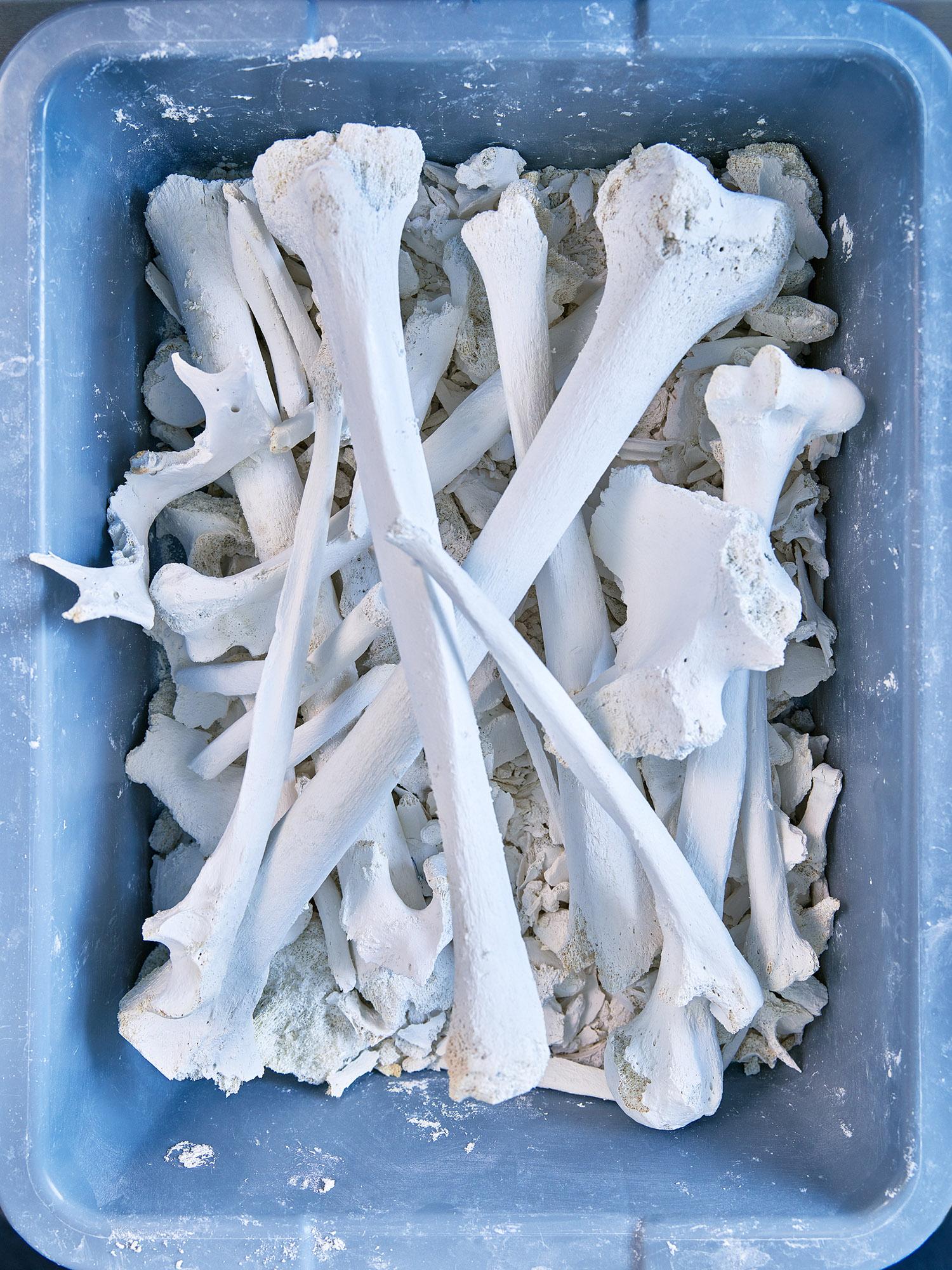 Human Bones Processed by Alkaline Hydrolysis, UCLA, Los Angeles, California, 2017
