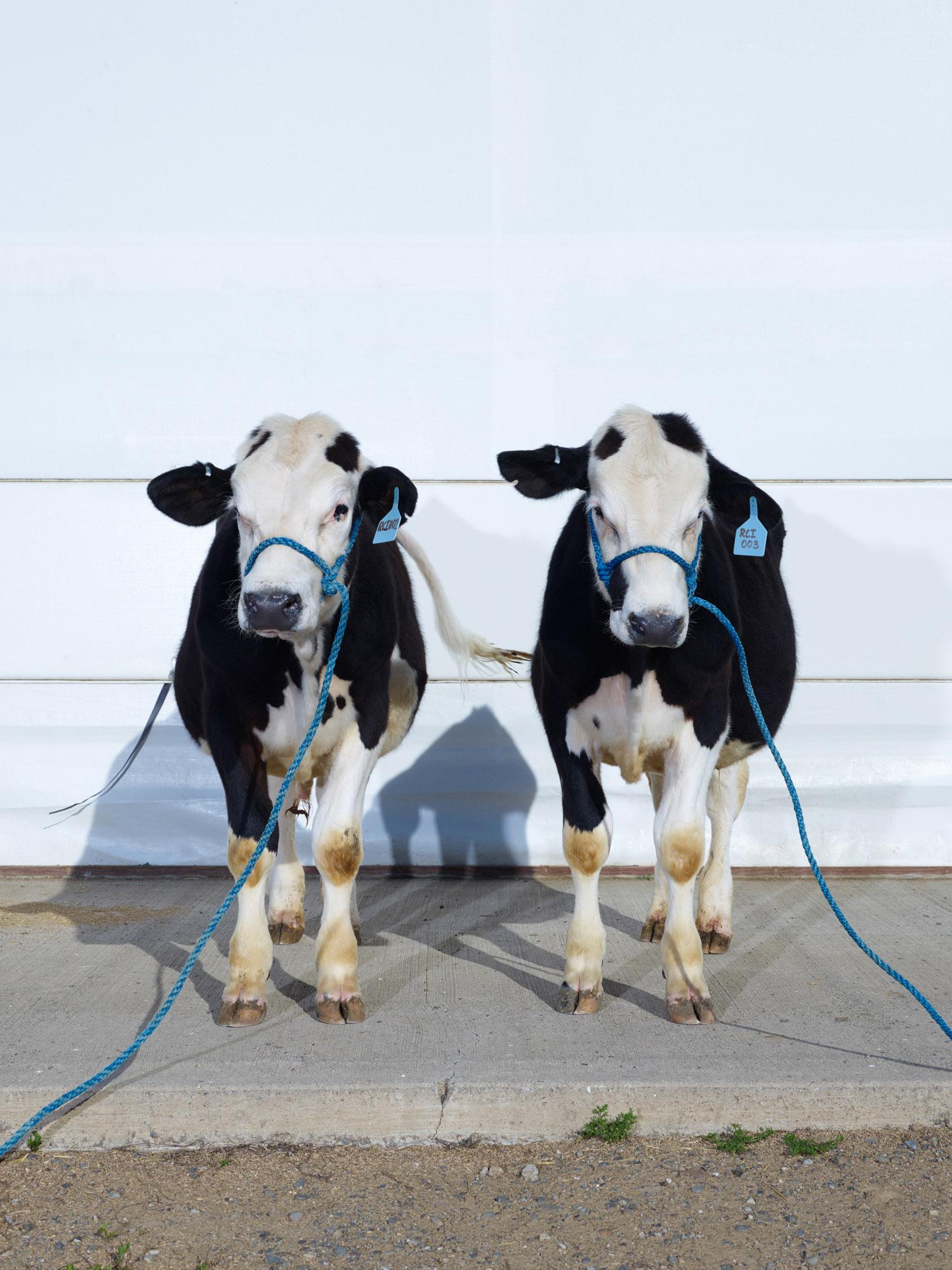 Genetically Modified Hornless Bull Clones, Davis, California, 2016