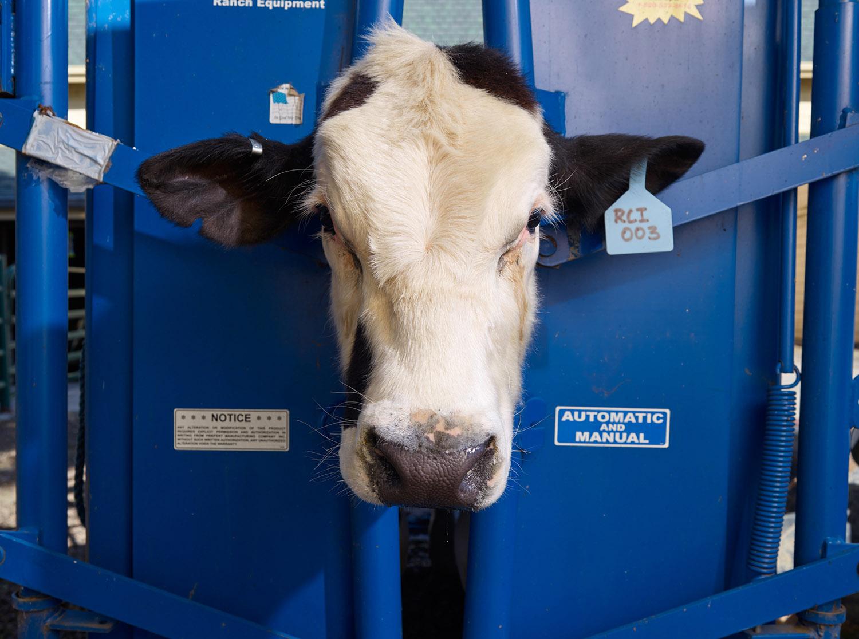 Genetically Modified Hornless Bull Clone, Davis, California, 2016