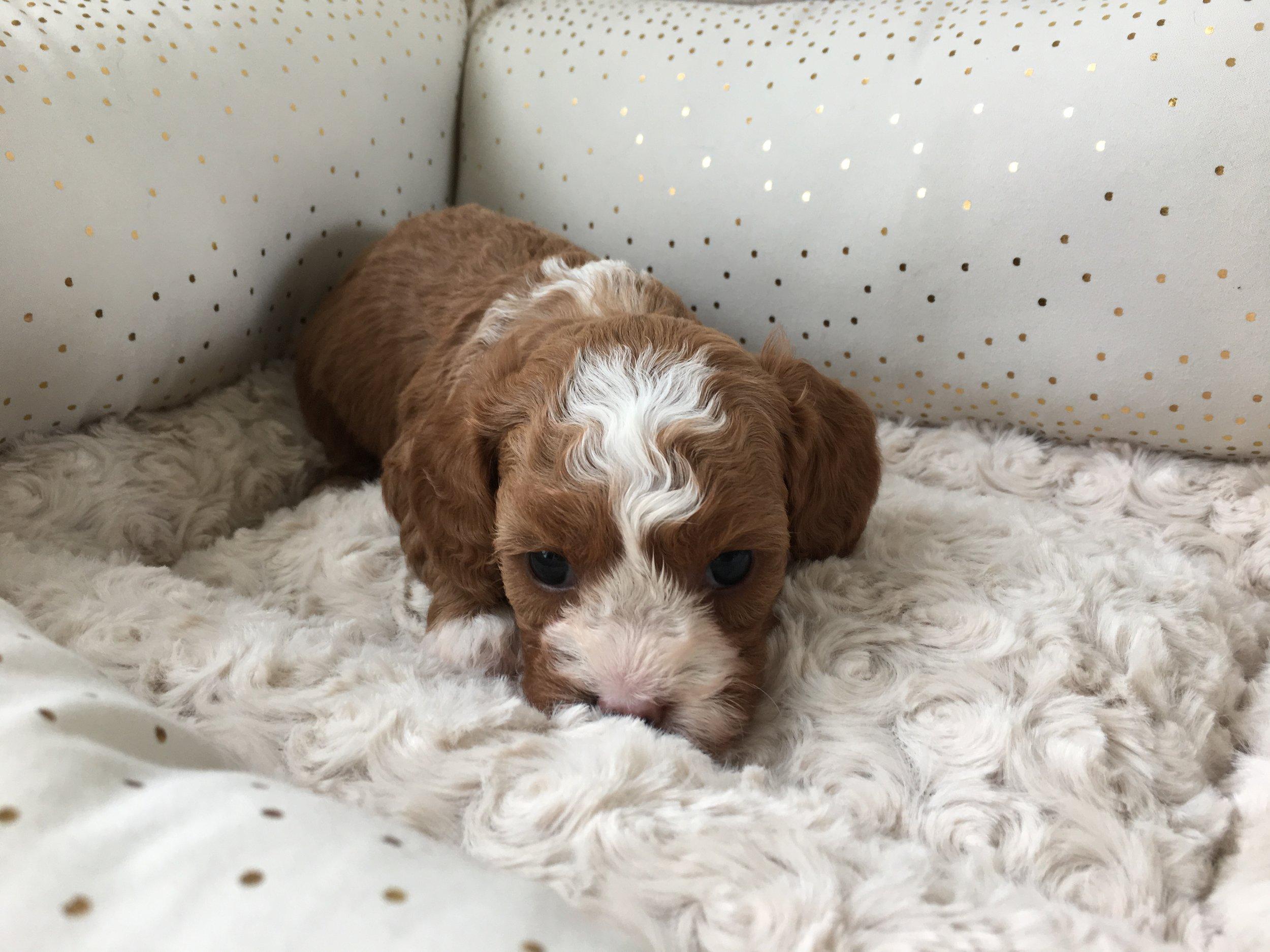Cavapoochon puppy