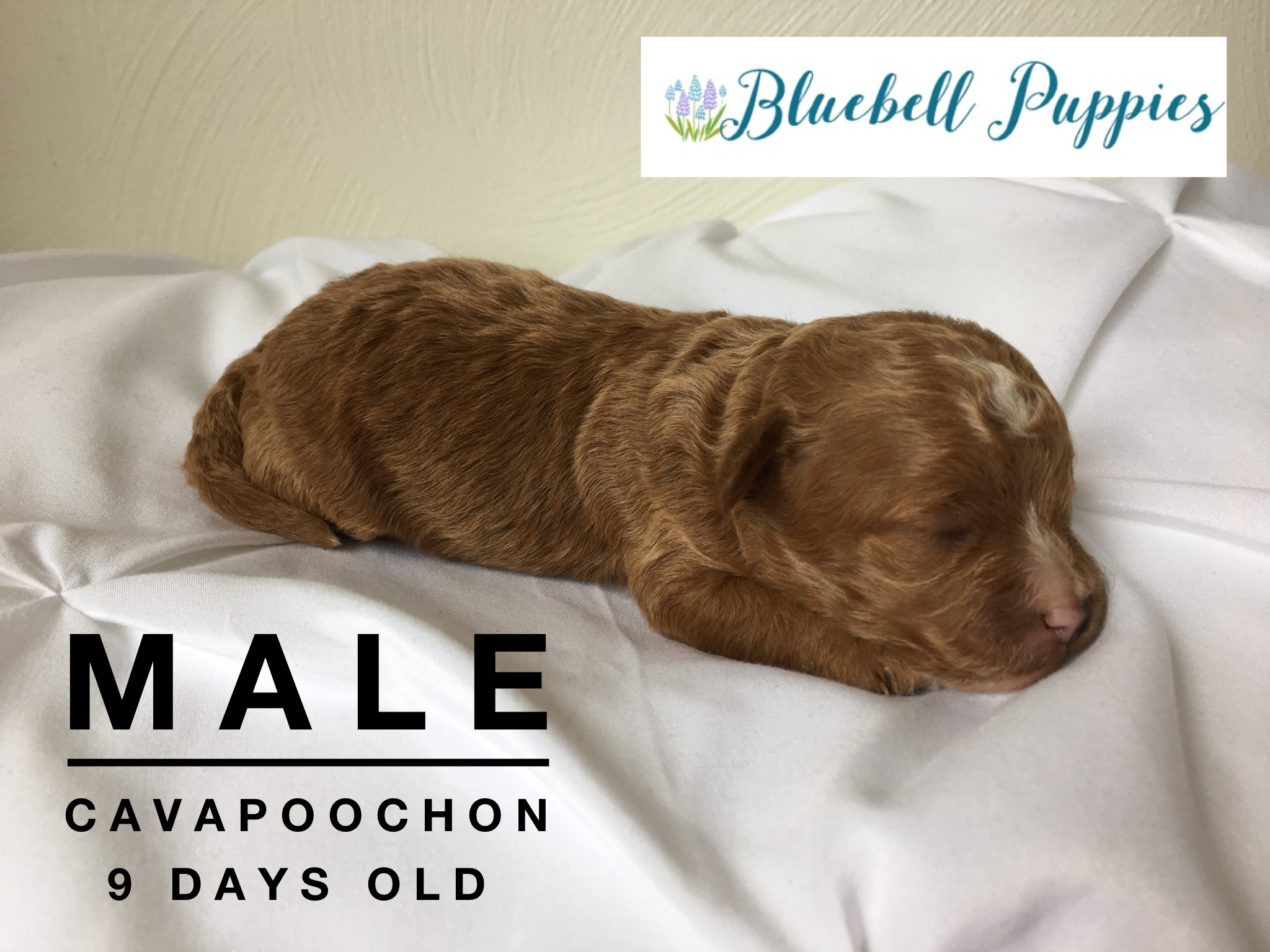 cavapoochon puppy newborn picture