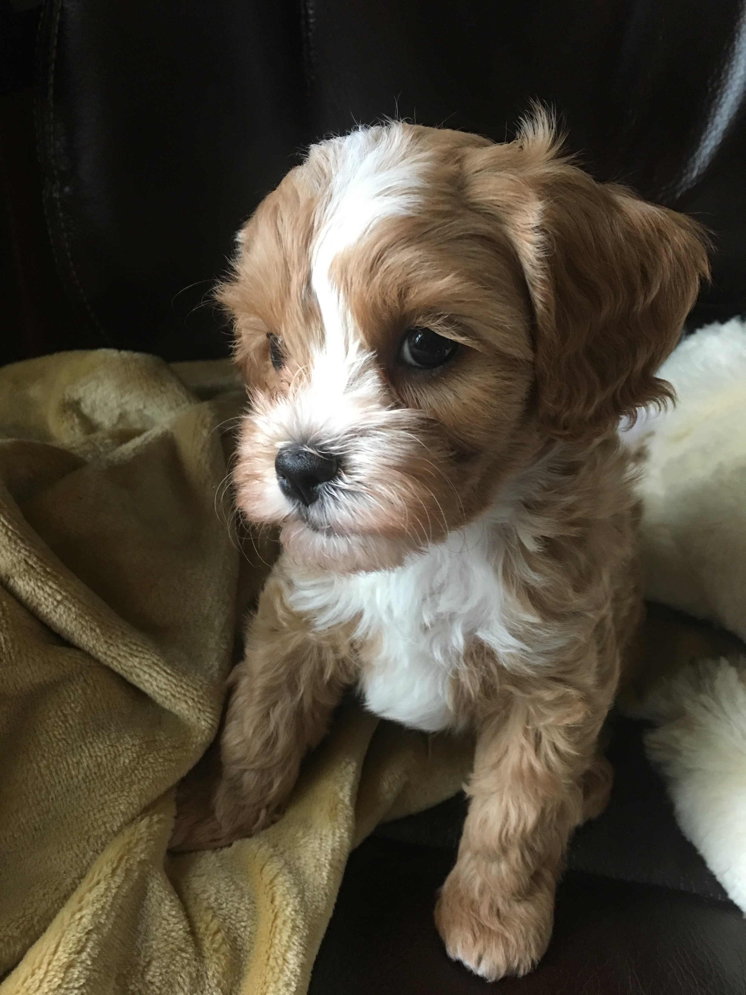 cavapoochon puppy for sale male