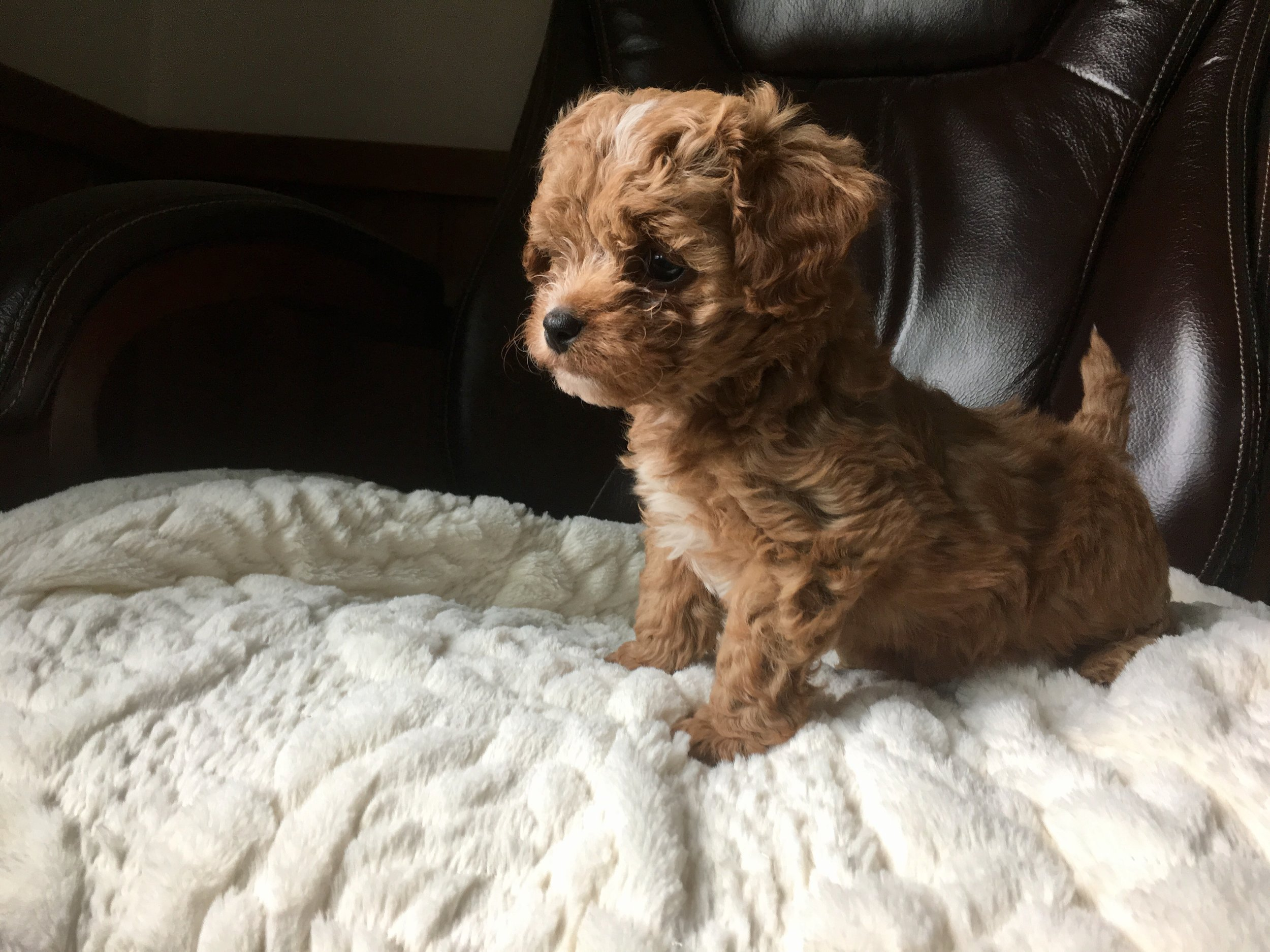 cavapoochon puppy male red