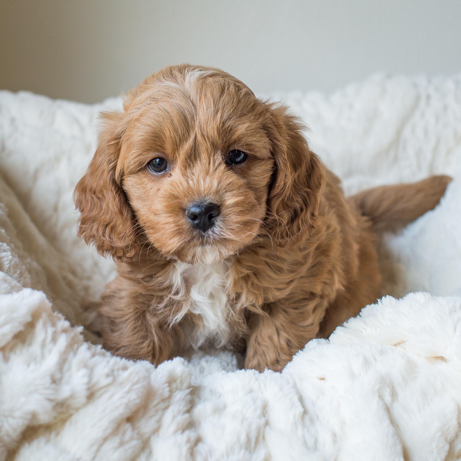 Calie, Calvin - Cavapoochon Puppy.jpg