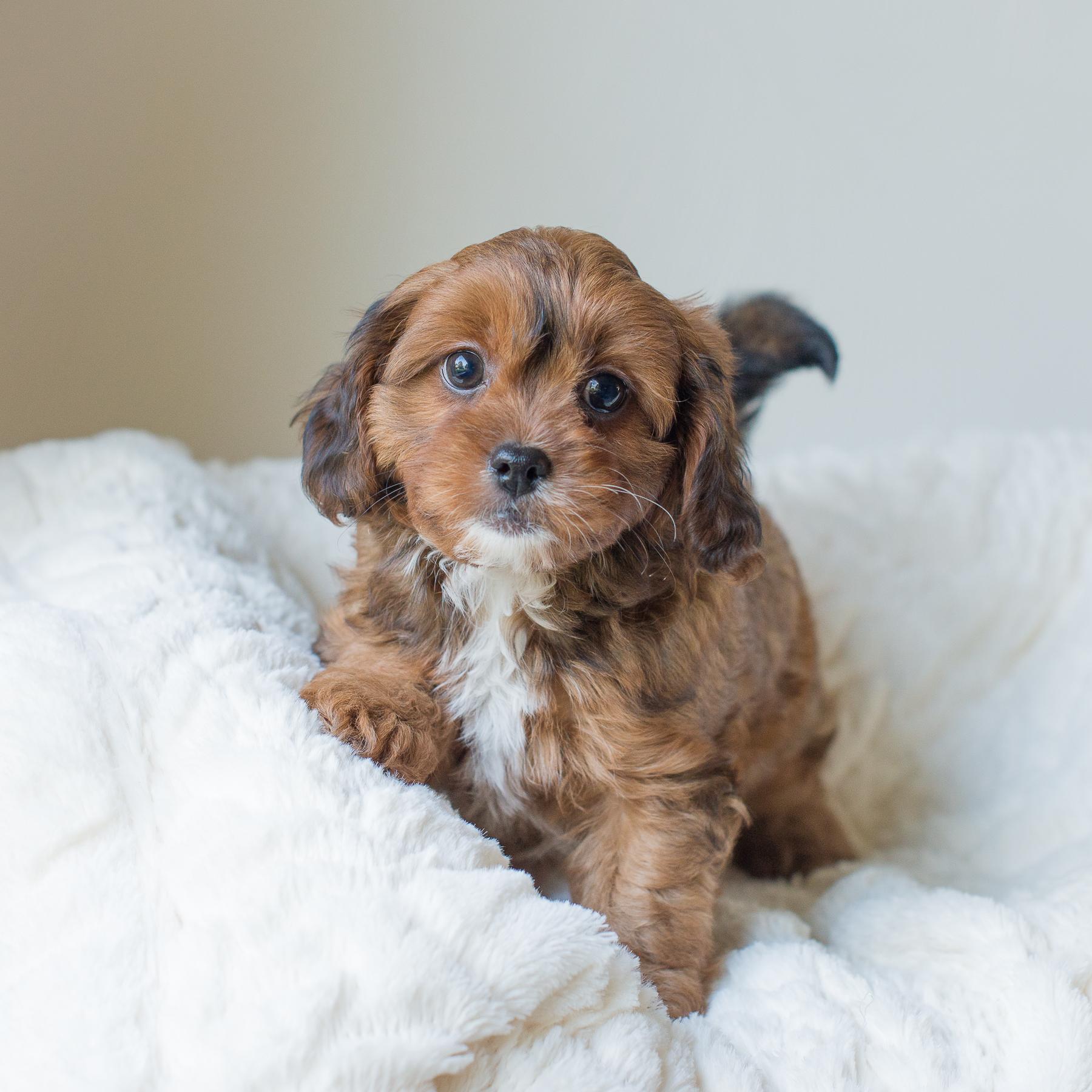 Coco, Rosie - Cavapoochon Puppy.jpg