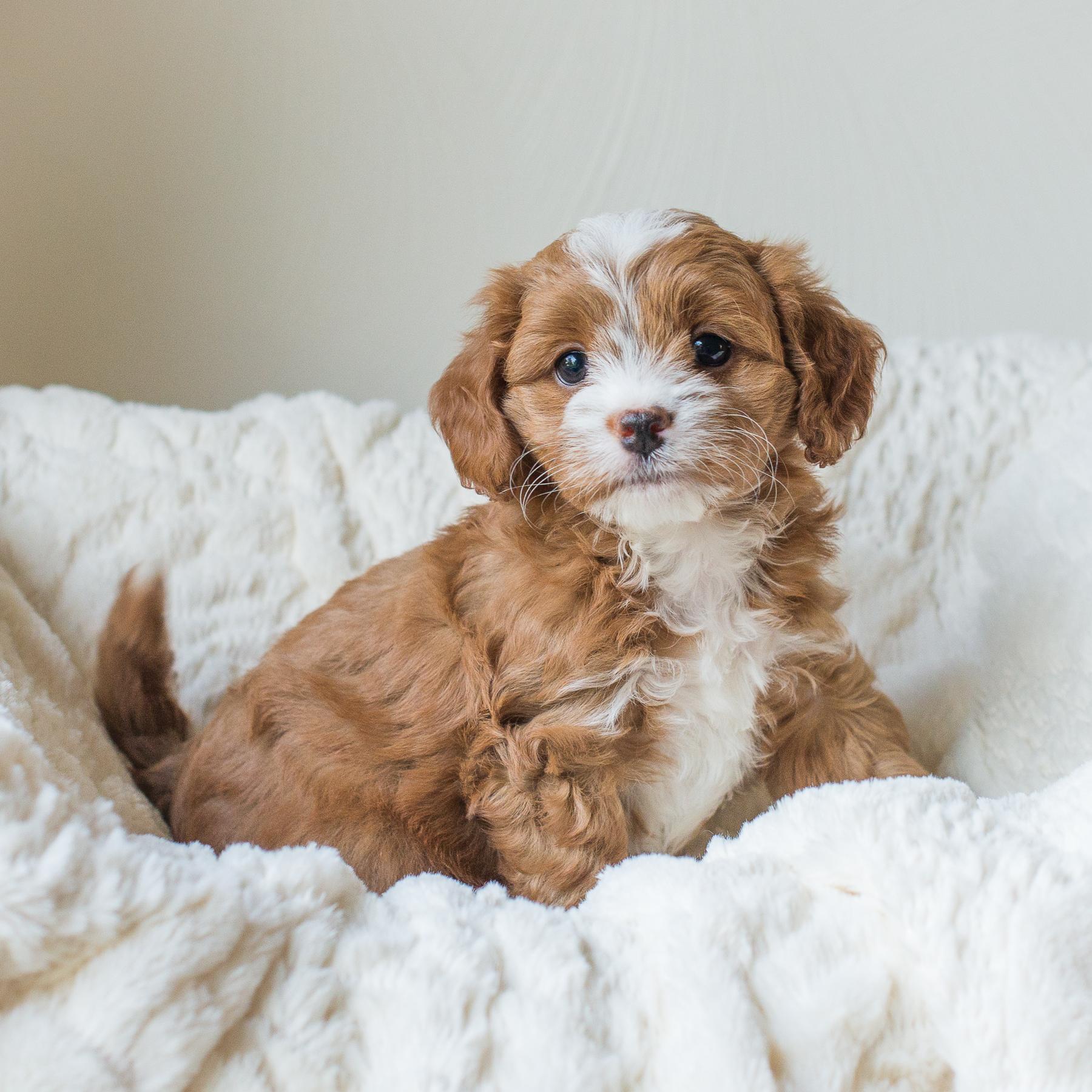 Calie, Poppy - Cavapoochon Puppy.jpg
