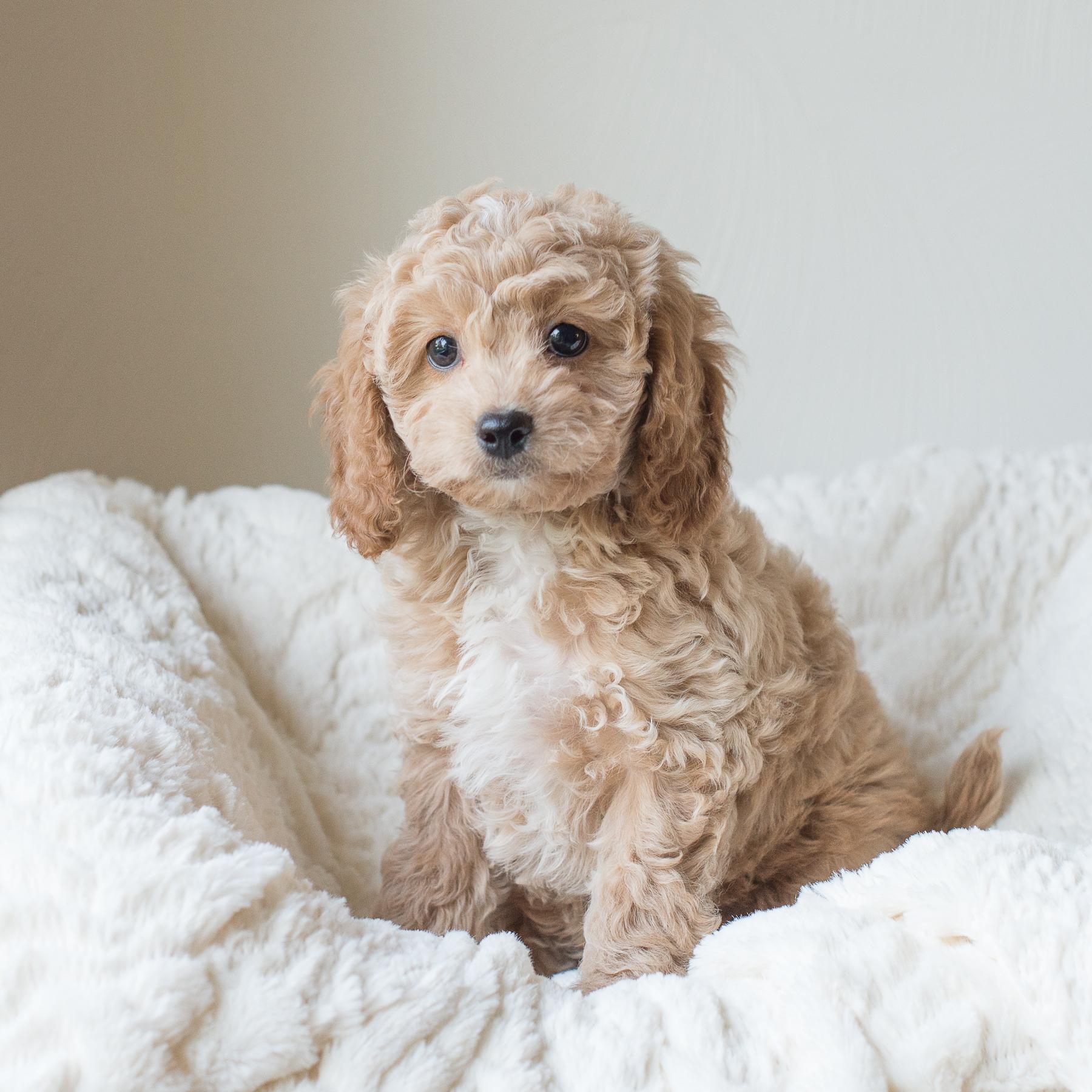 Cooper, Susie - Cavapoochon Puppy.jpg