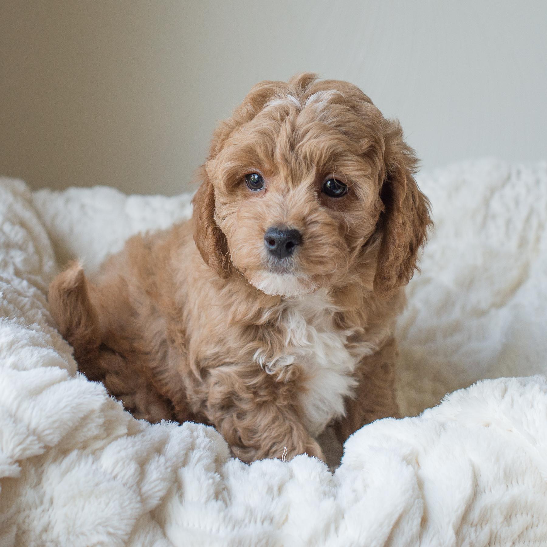 Duke, Susie - Cavapoochon Puppy.jpg