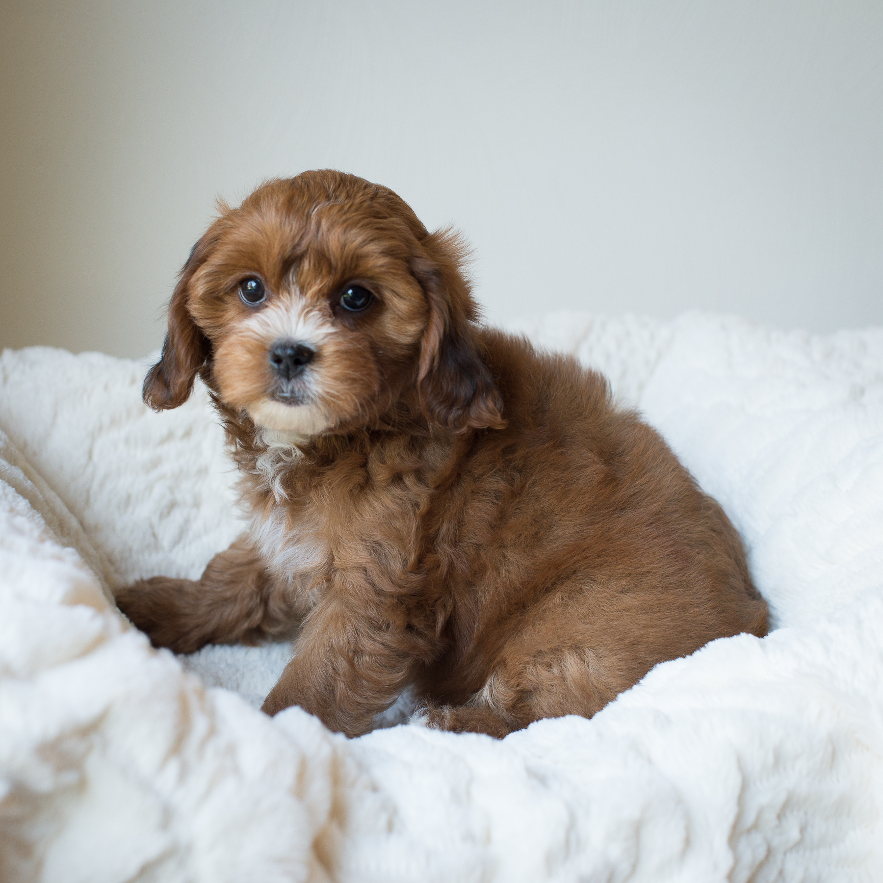 Hazel, Rosie - Cavapoochon Puppy.jpg