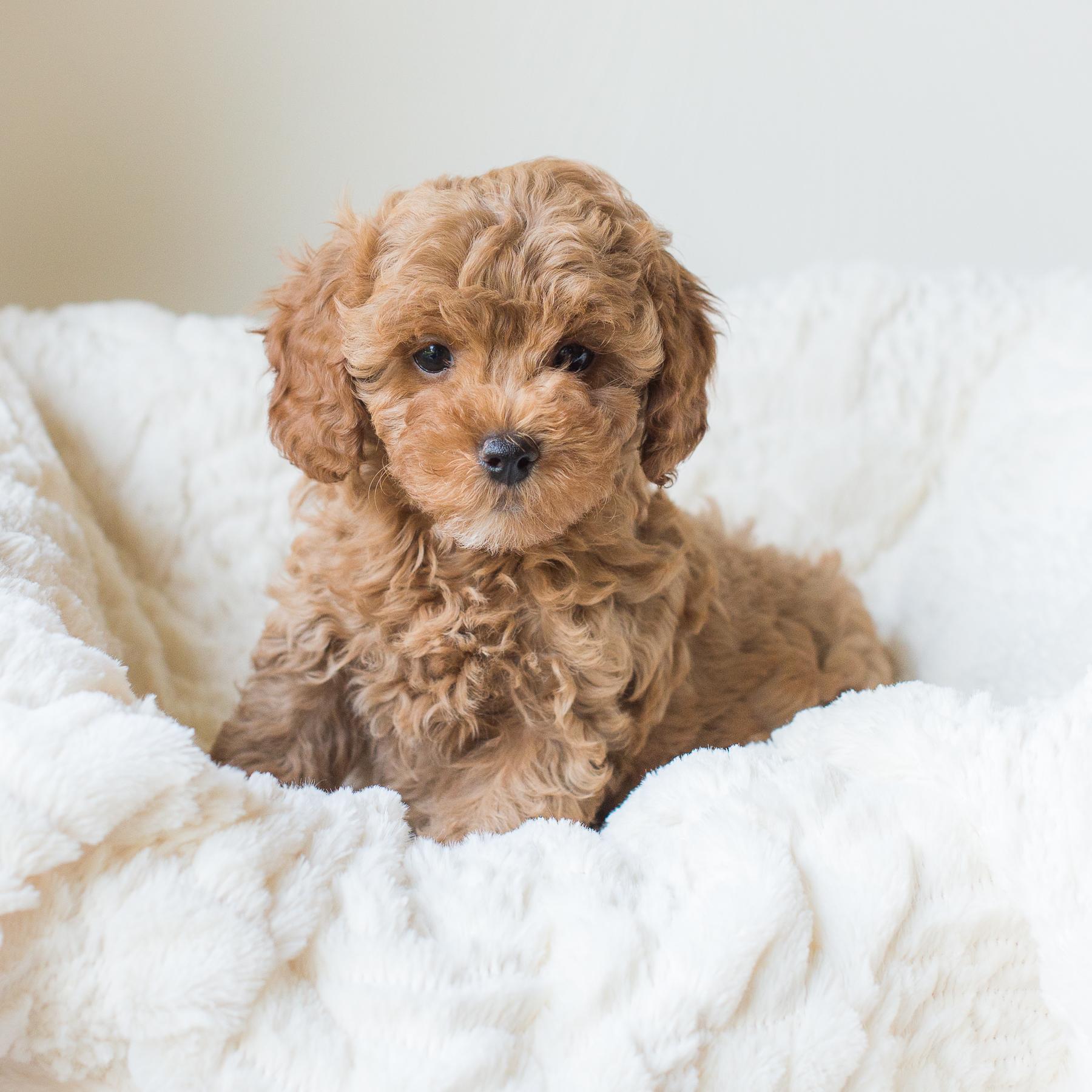 Lady, Susie - Cavapoochon Puppy.jpg