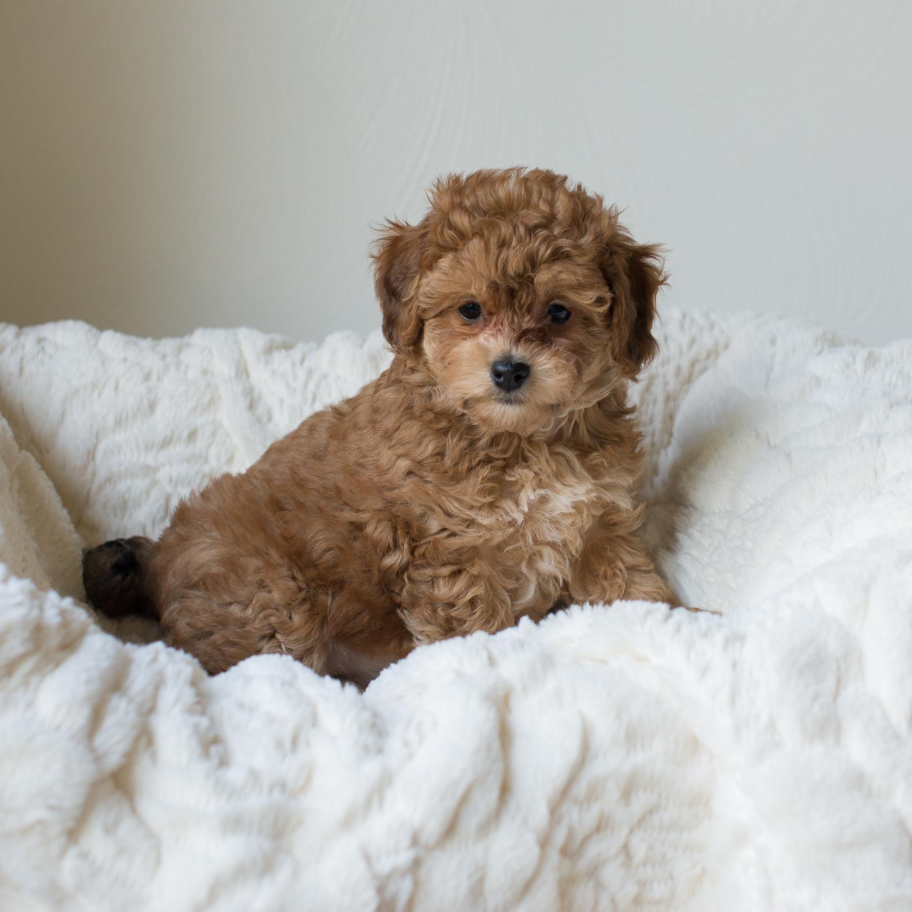 Mochi, Rosie - Cavapoochon Puppy.jpg