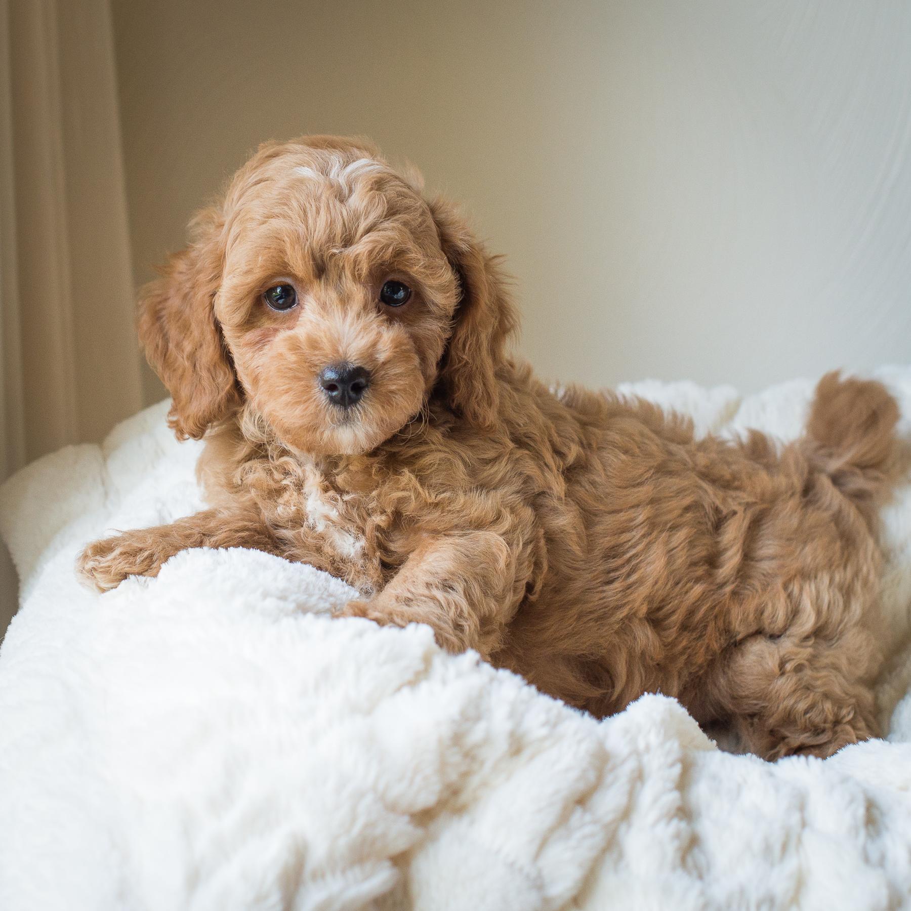 Percy, Susie - Cavapoochon Puppy.jpg