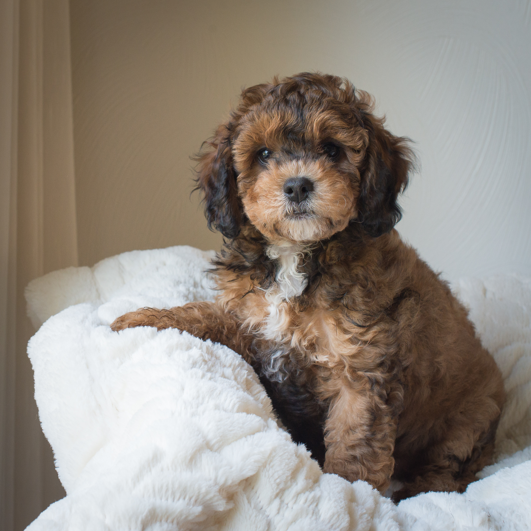 Ralphie, Rosie - Cavapoochon Puppy.jpg