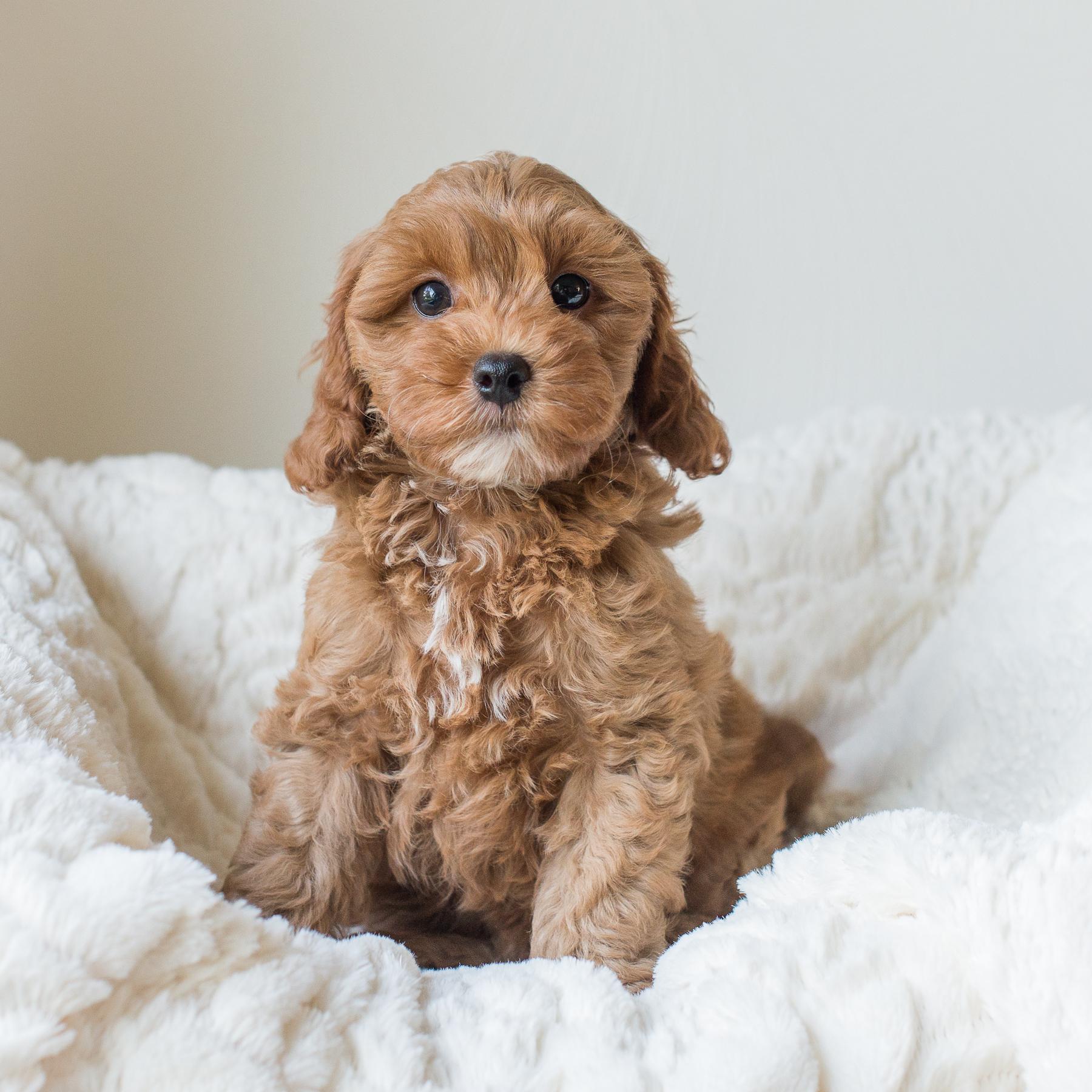 Susie, William - Cavapoochon Puppy.jpg