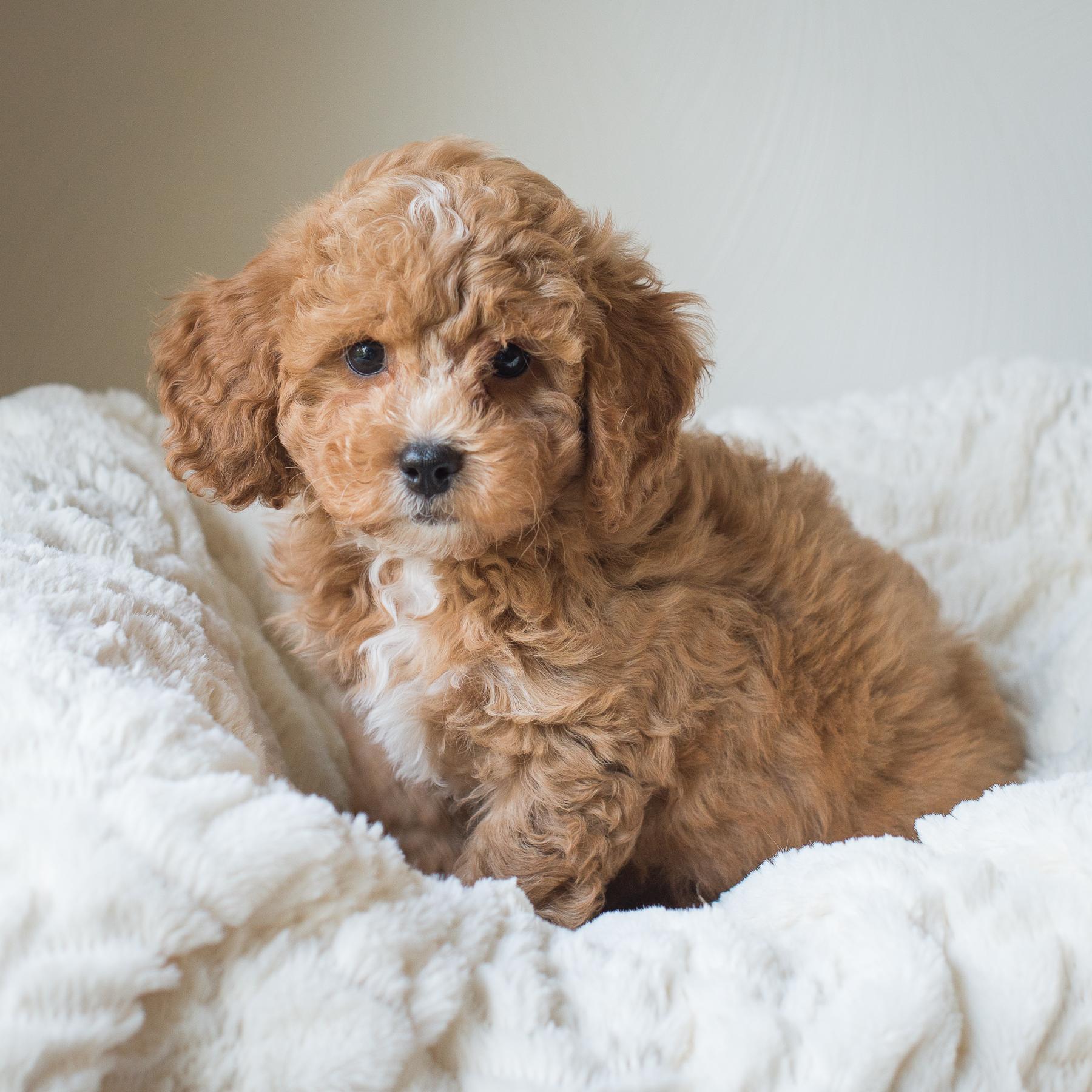 Susie, Winston - Cavapoochon Puppy.jpg